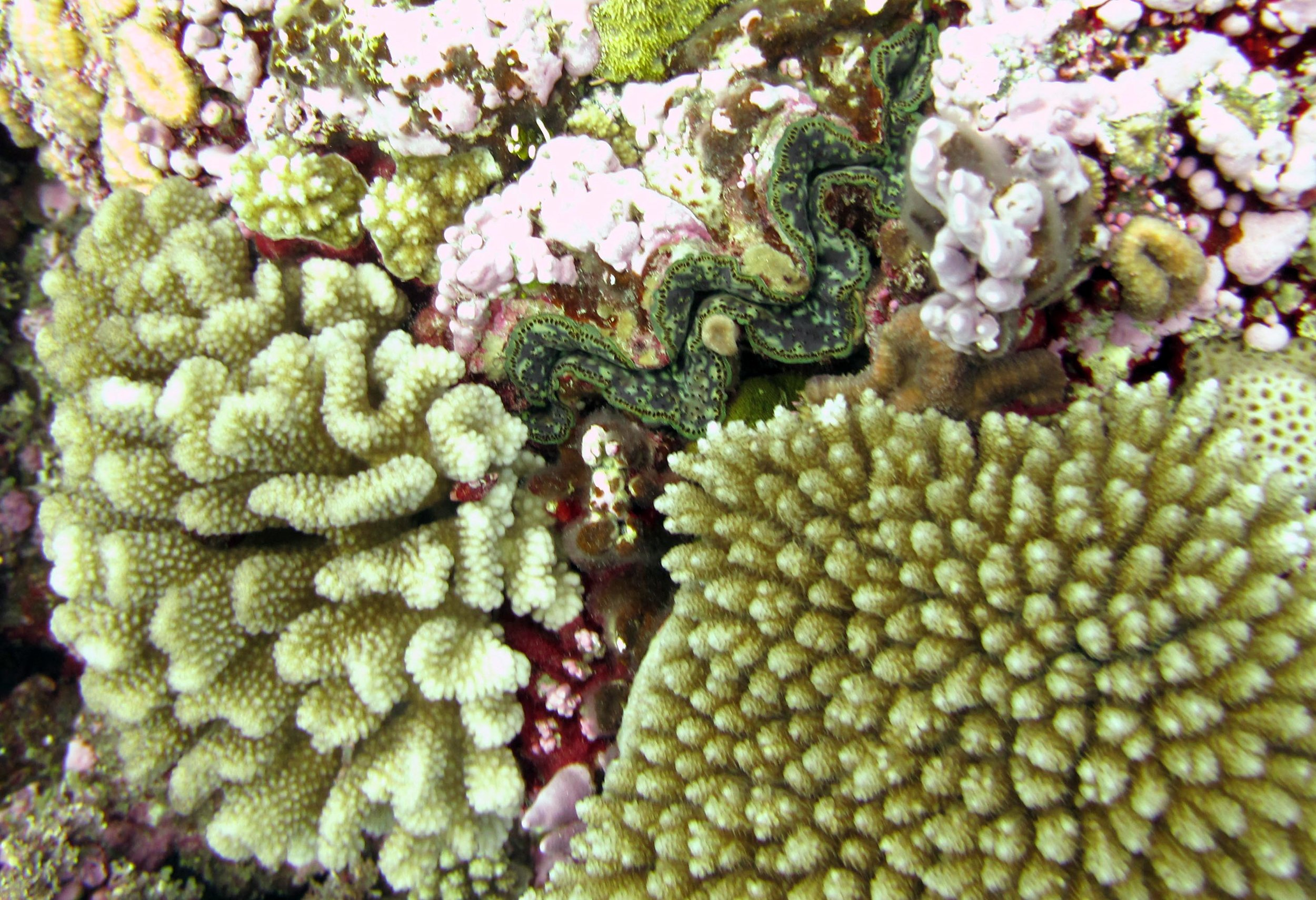 giant clam and corals.jpg
