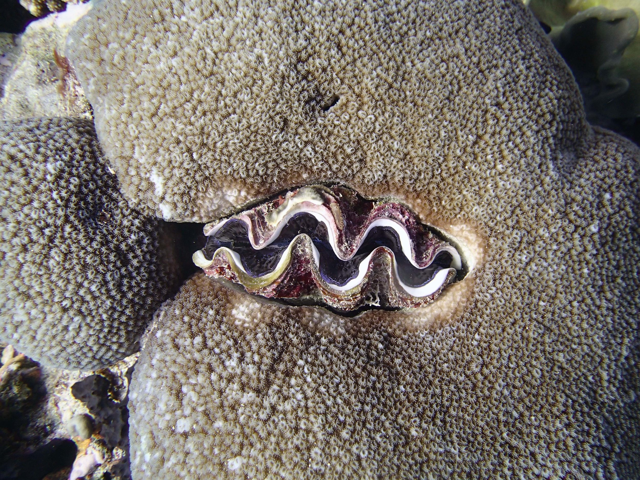 giant clam within coral.jpg