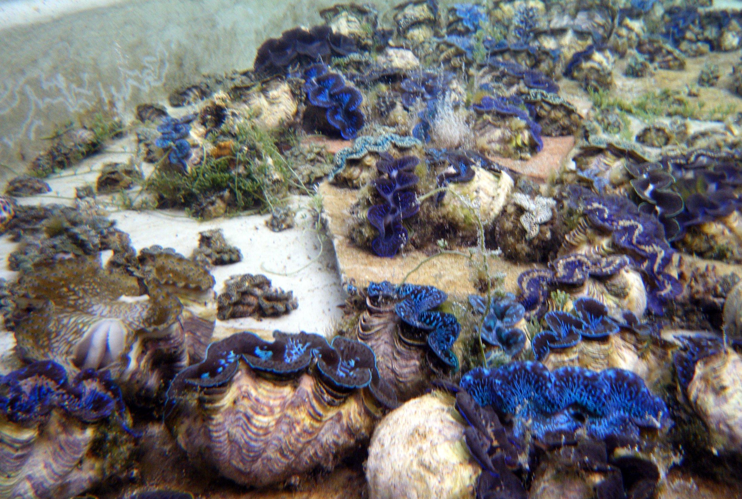 giant clams at Aiutaki.jpg