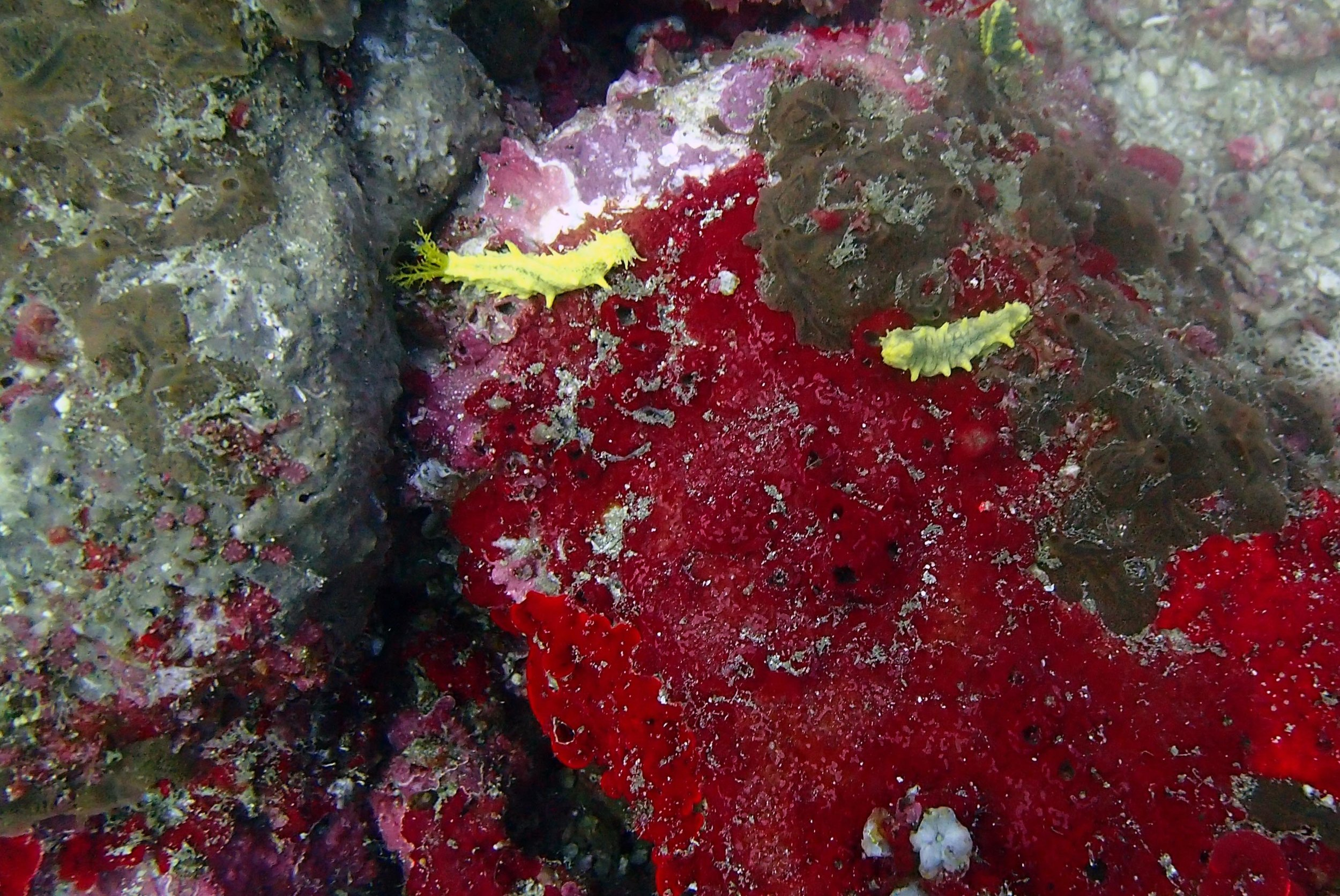 yellow sea cucumbers.jpg