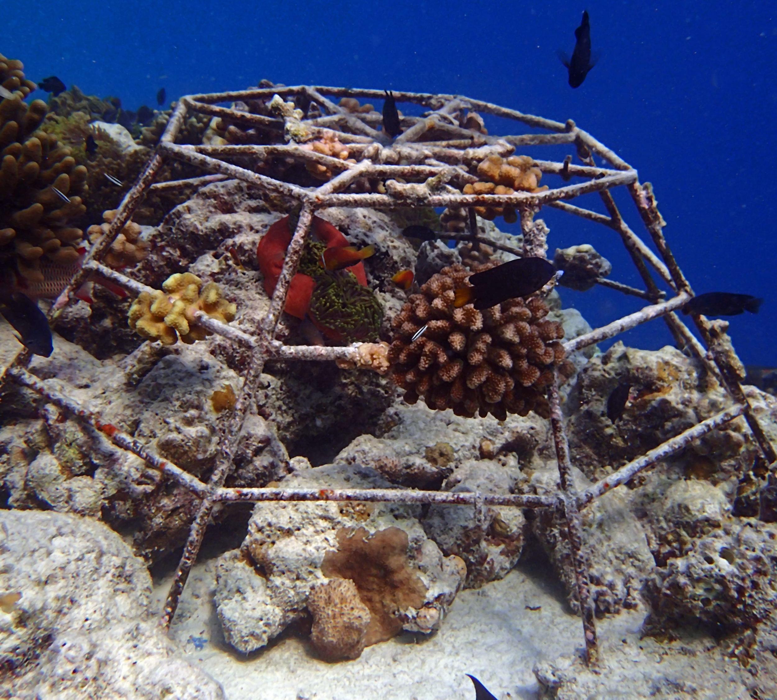 coral culture Maldives.jpg
