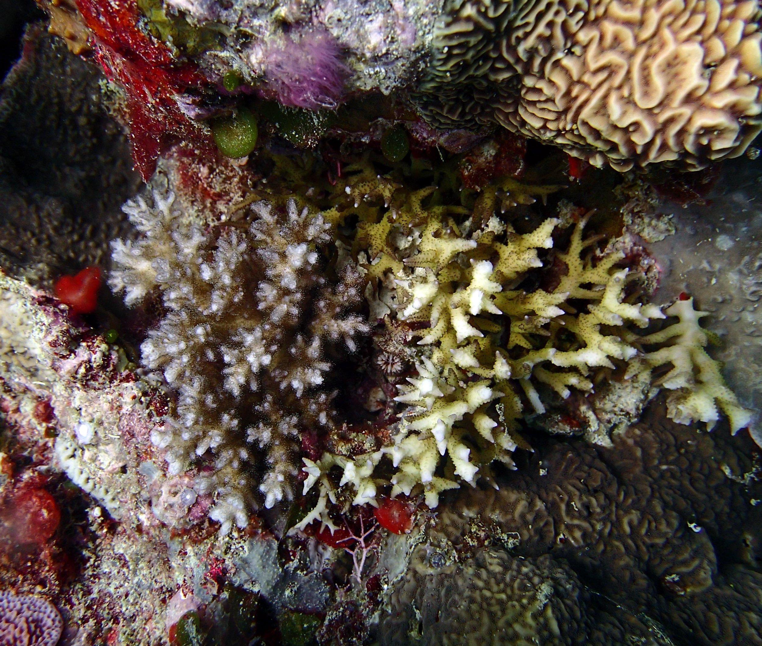model coral.jpg