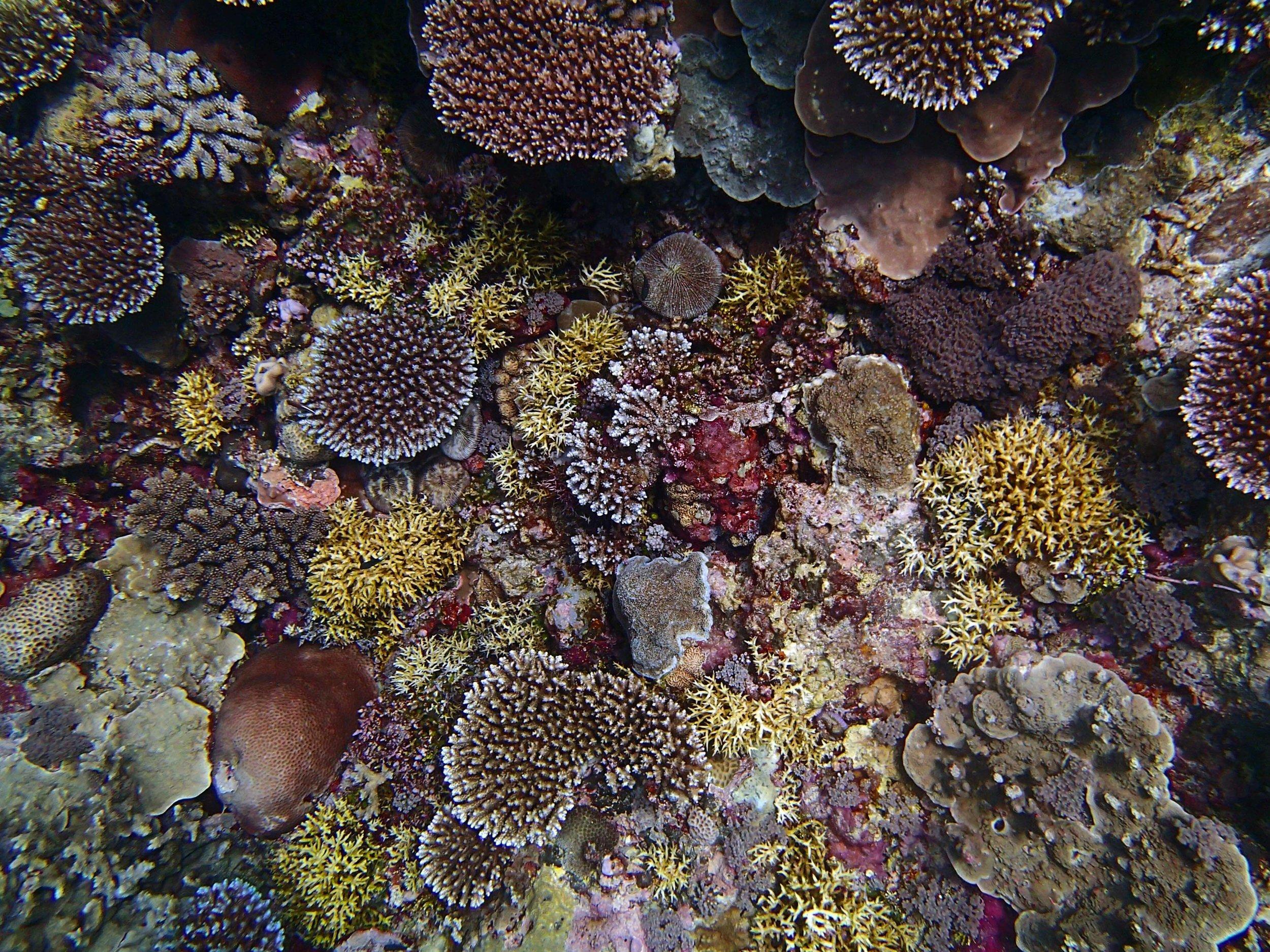 Seriatopora dominated reef.jpg
