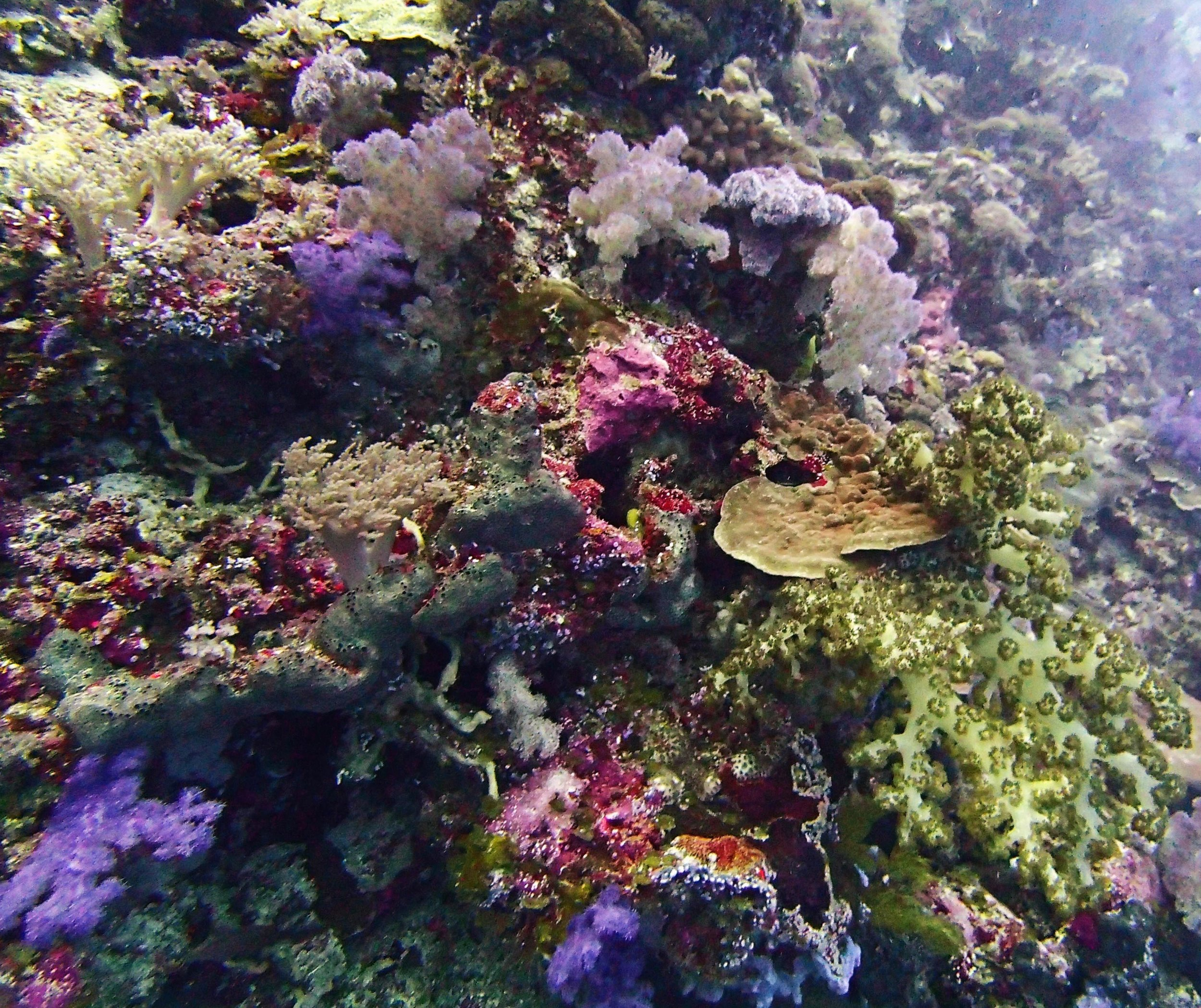soft corals in Palau.jpg