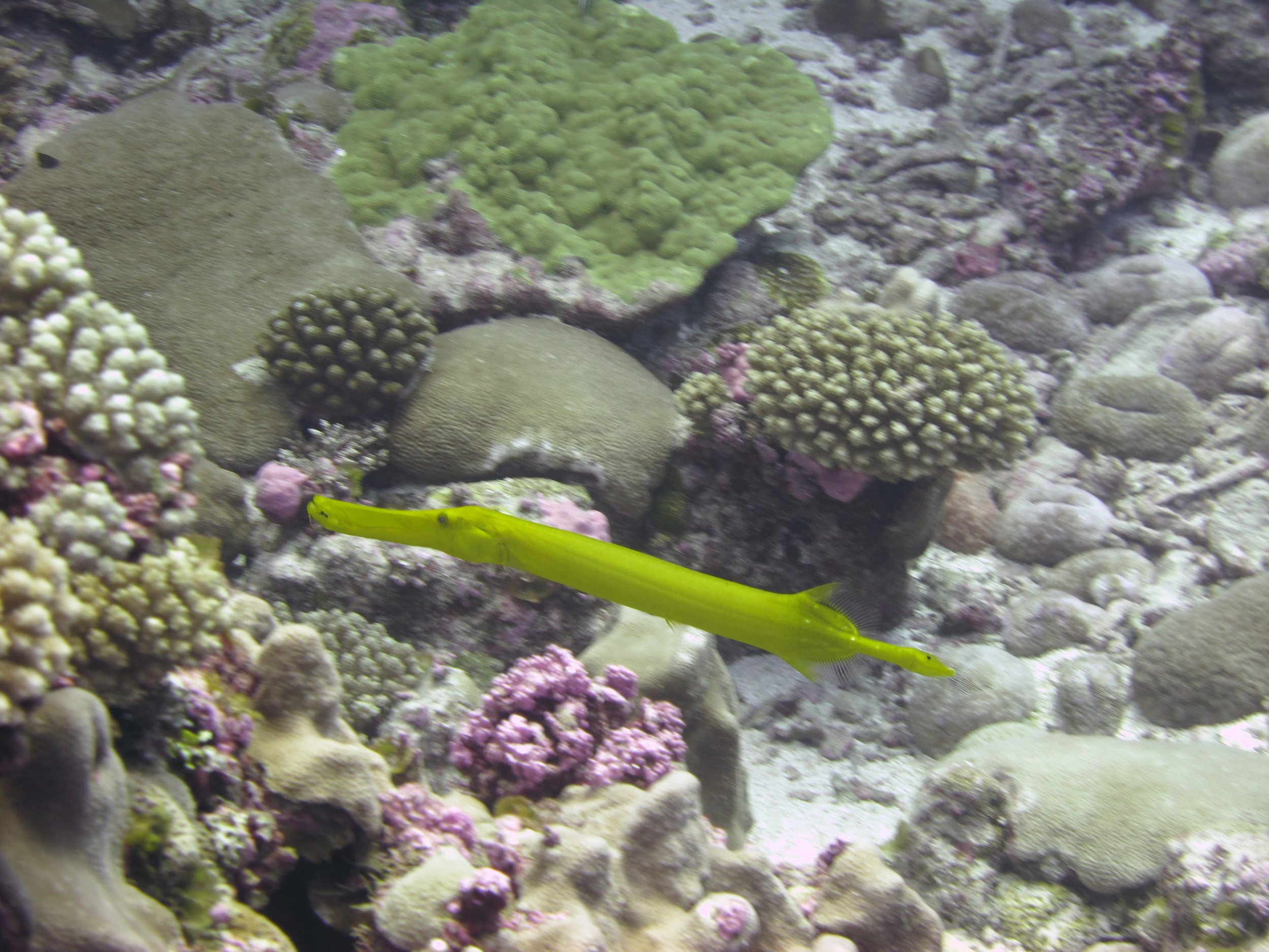 yellow trumpetfish.jpg