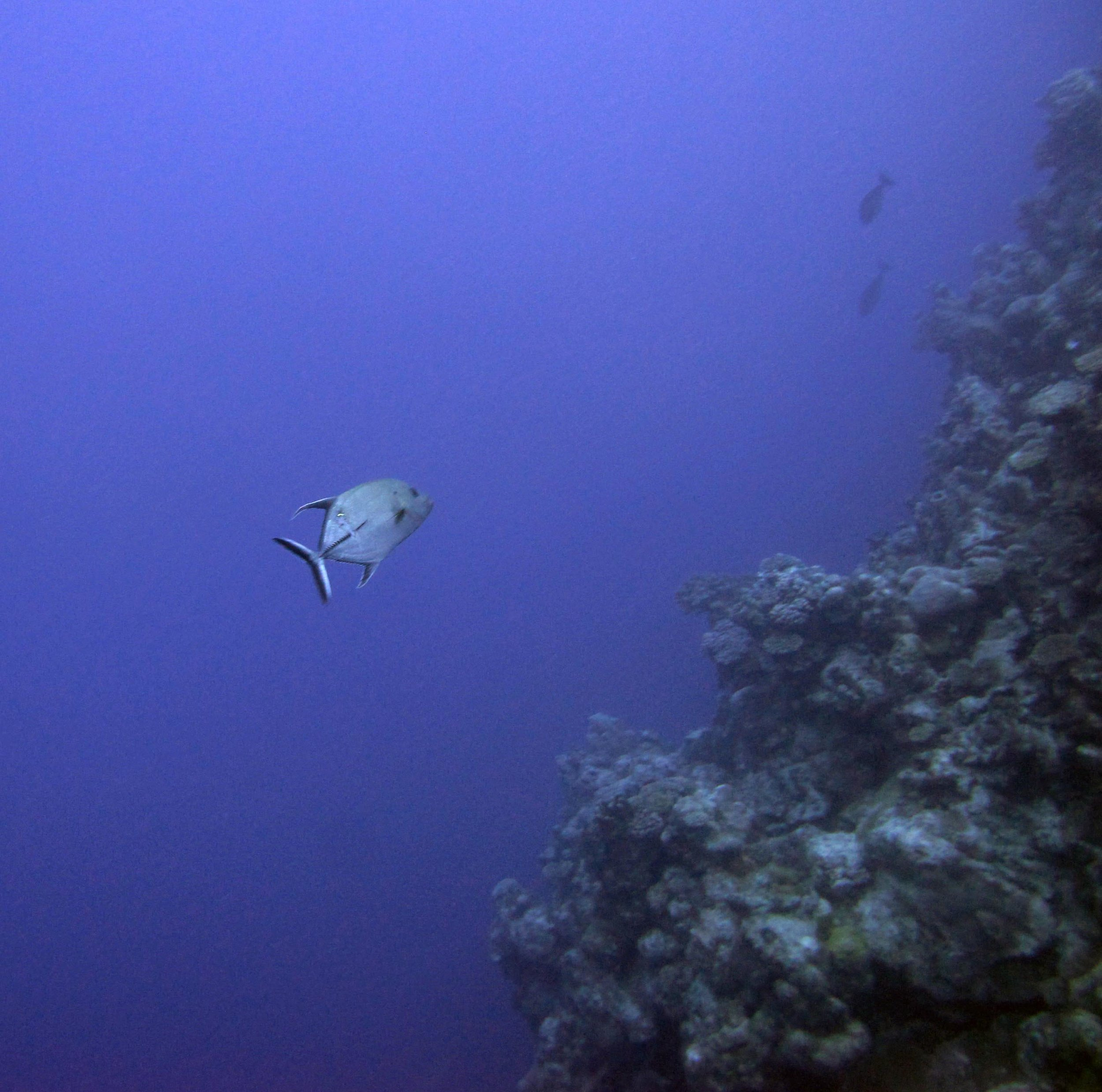 lonely trevally.jpg