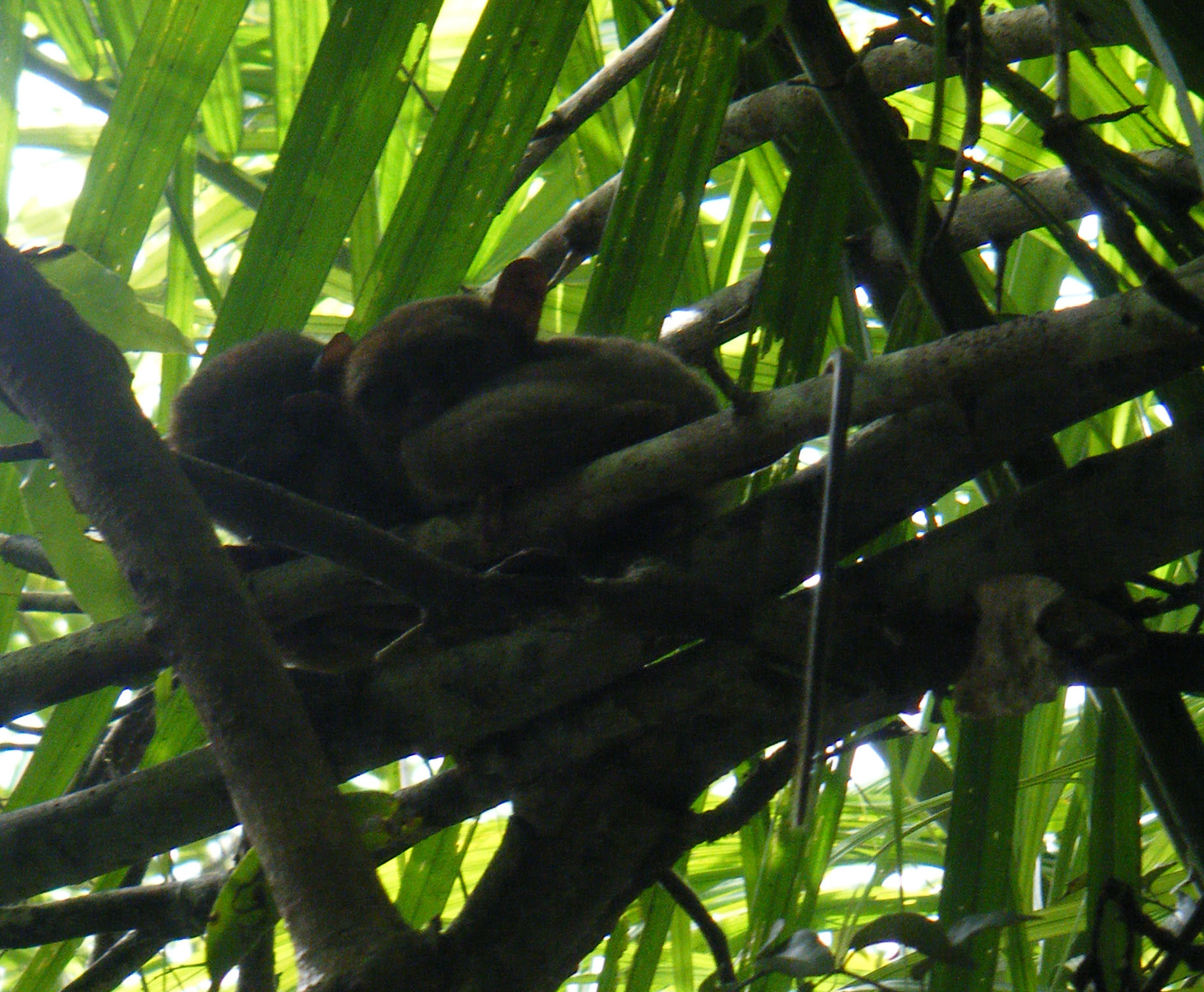 tarsier couple.jpg