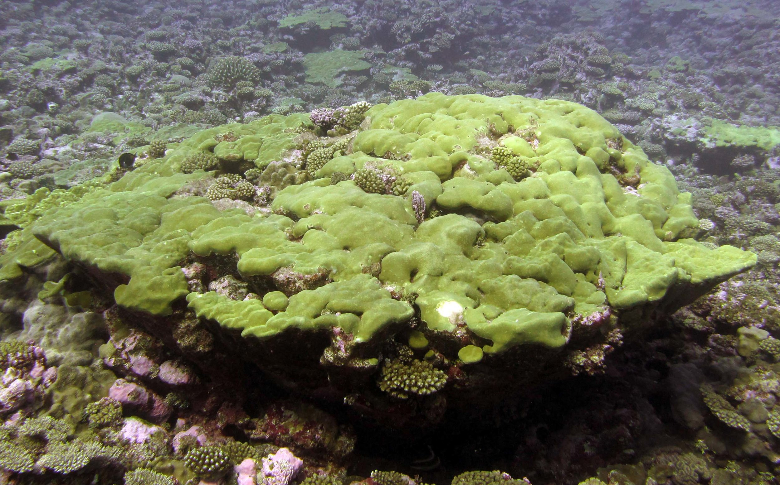 weirdly shaped porites.jpg