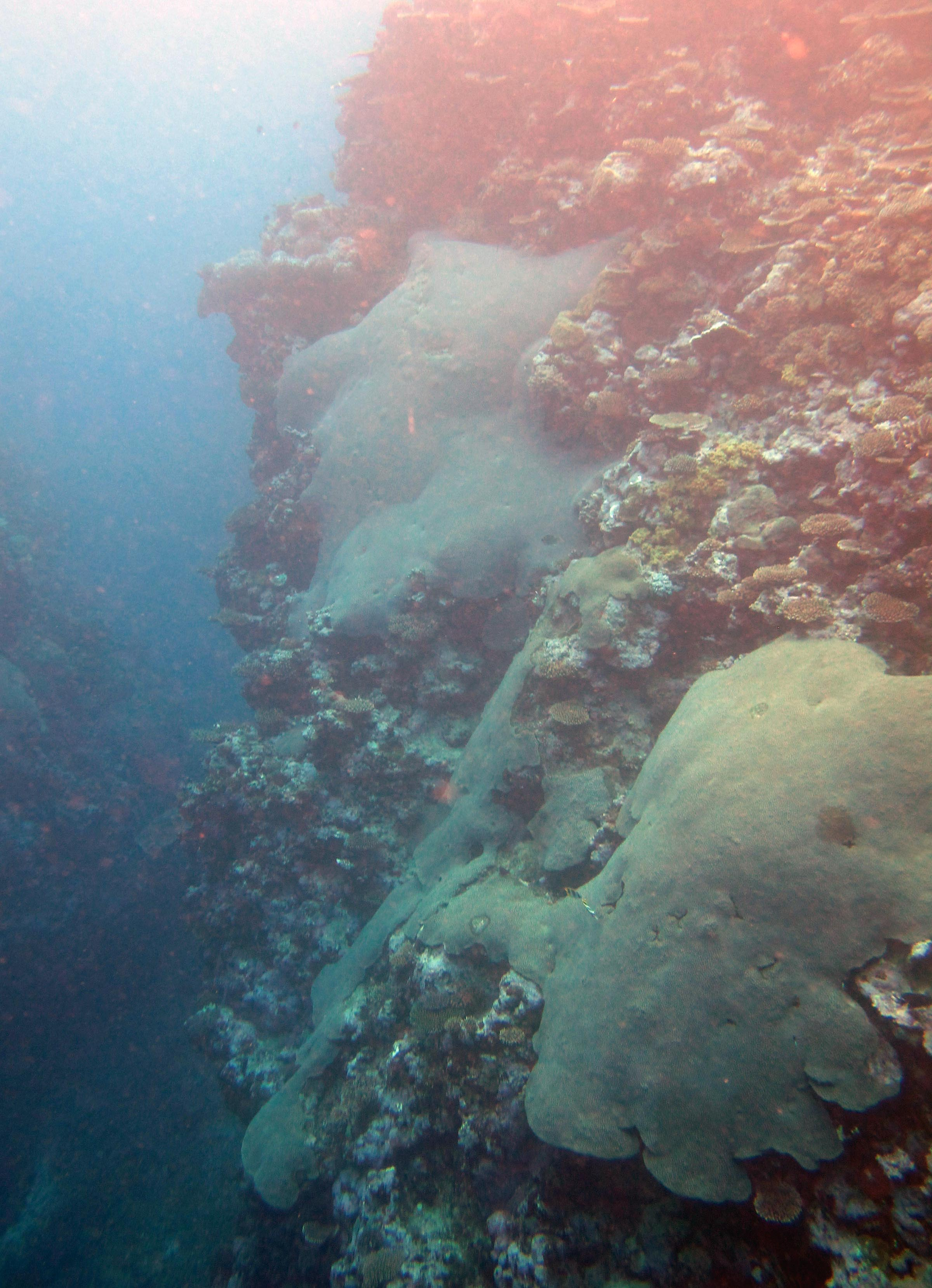 huge alveopora colonies.jpg