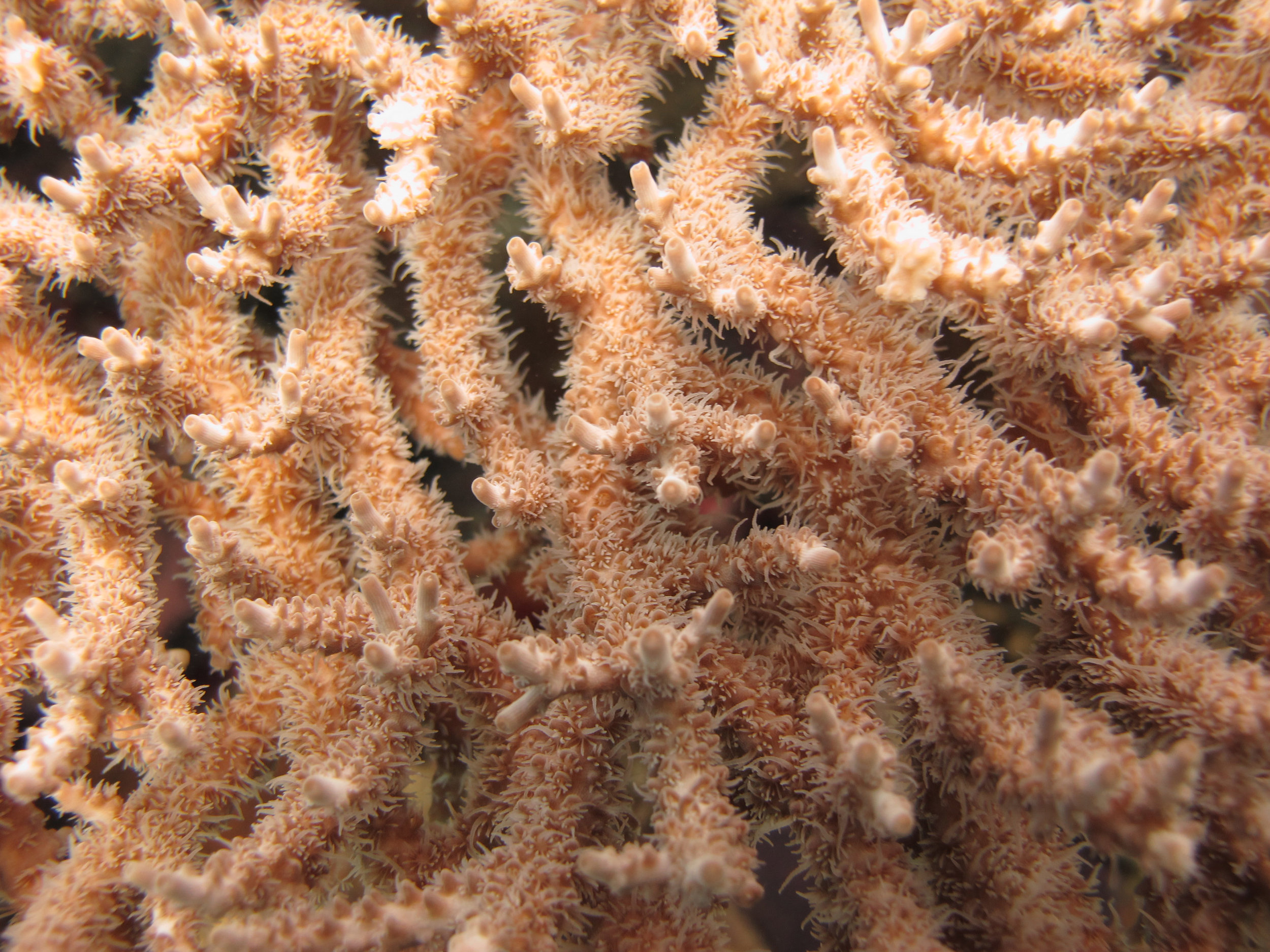 awesome acropora shot.jpg