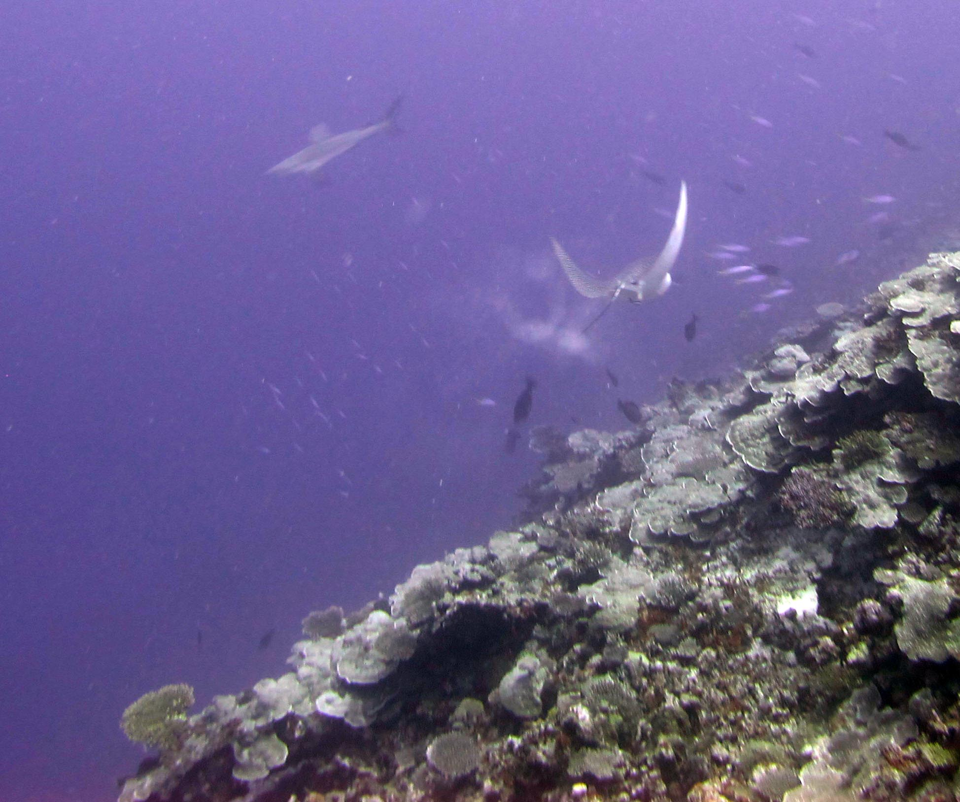 eagle ray and shark.jpg