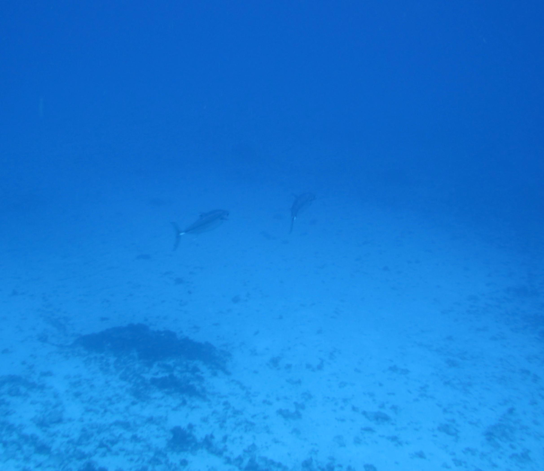 dogfish tuna.jpg