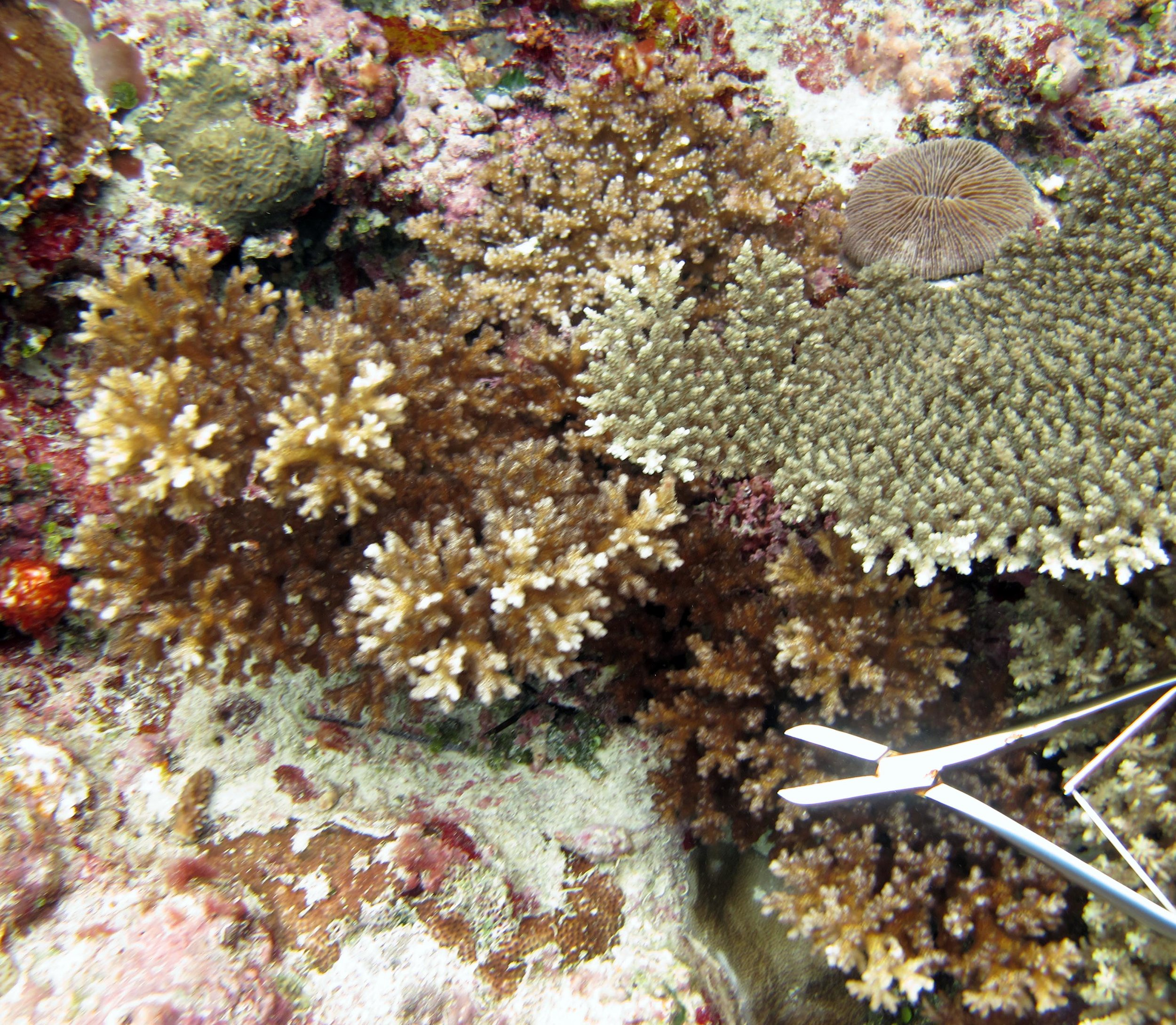 colony 102 (  Pocillopora verrucosa  )-colony goes beyond border of image. Sample was only partially analyzed and so was not included in multivariate statistical analyses:  JMP   Excel   Ancillary data