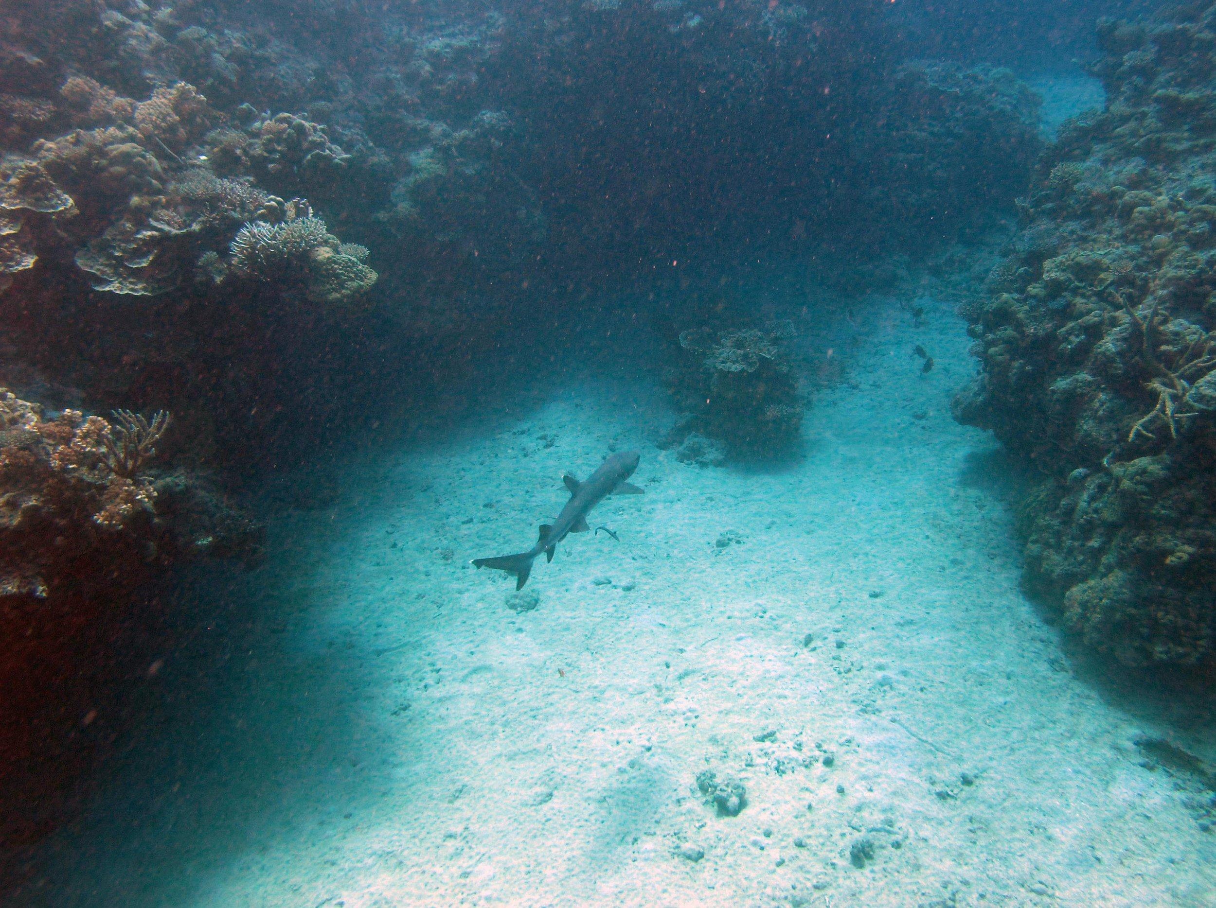 shark off Mago Island.jpg