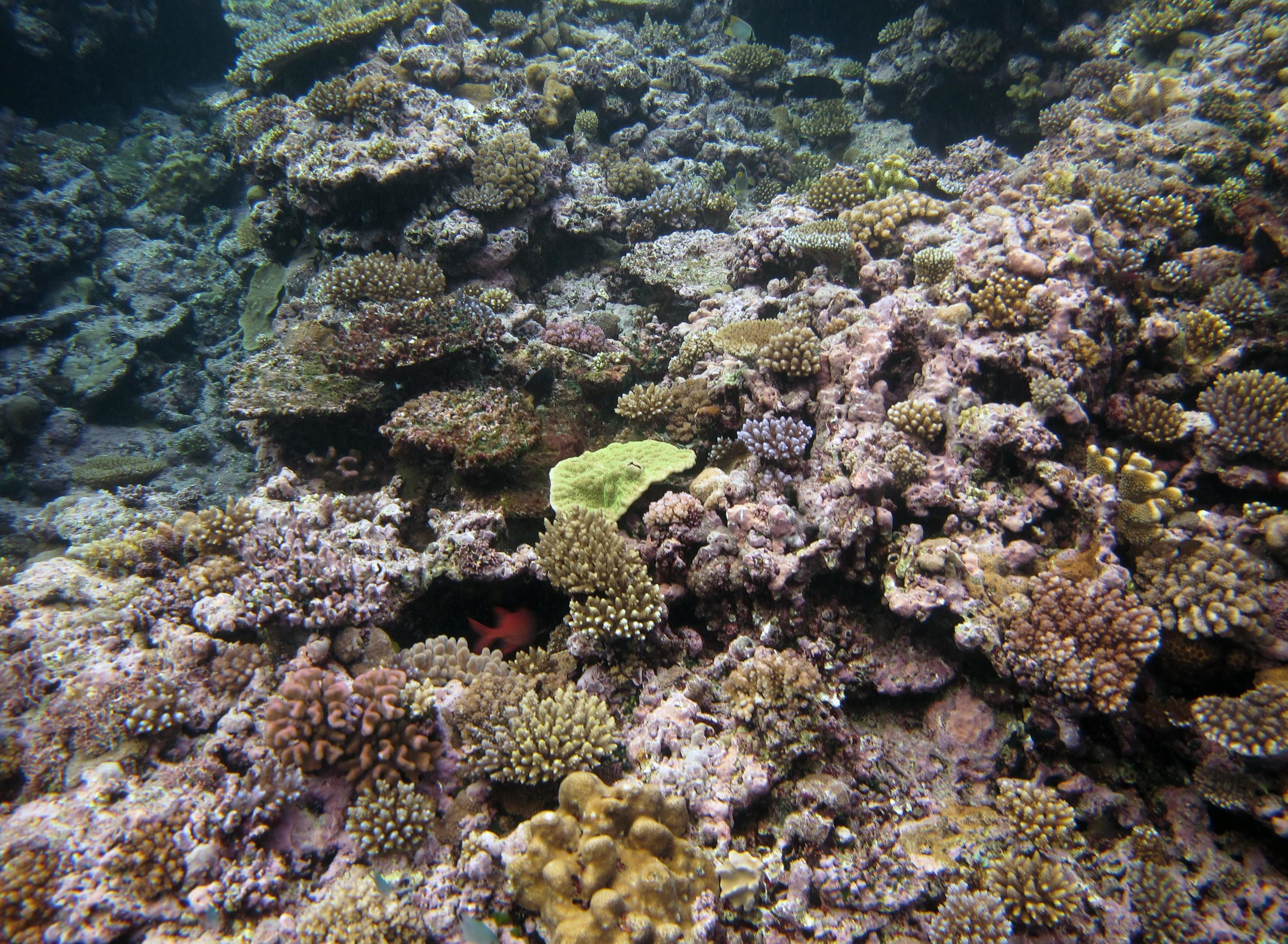 CCA and corals.jpg