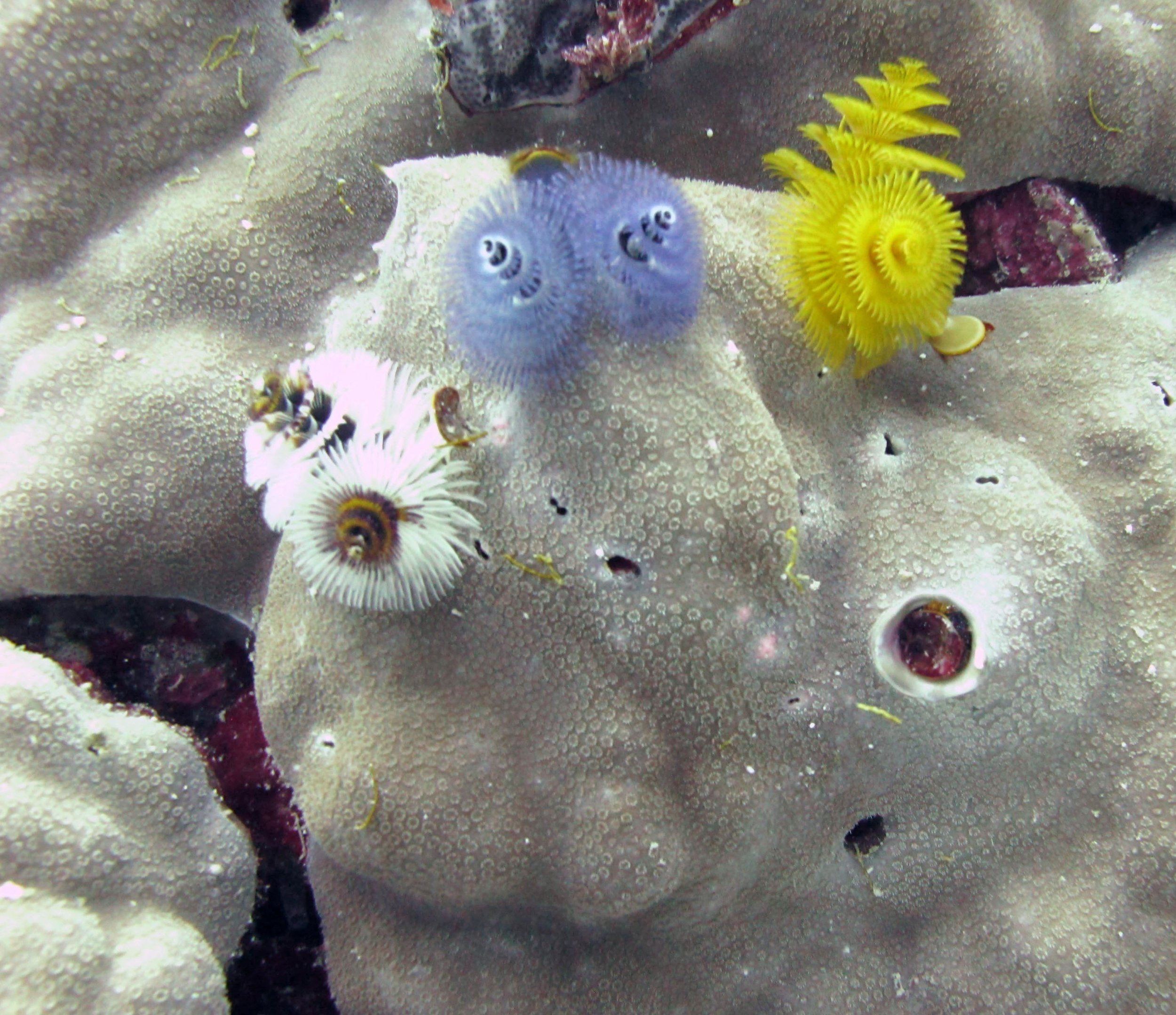 Christmas tree worms macro.jpg