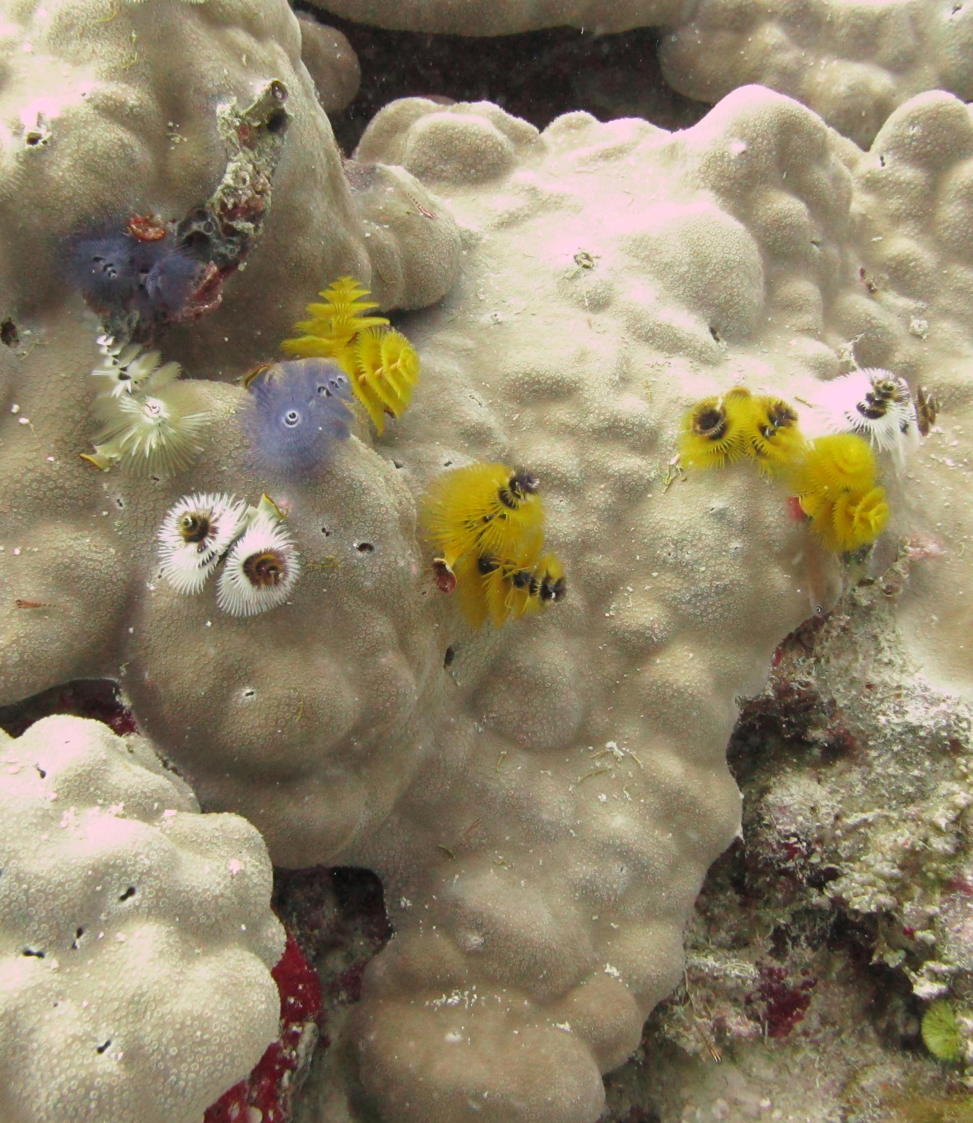 Christmas tree worms.jpg