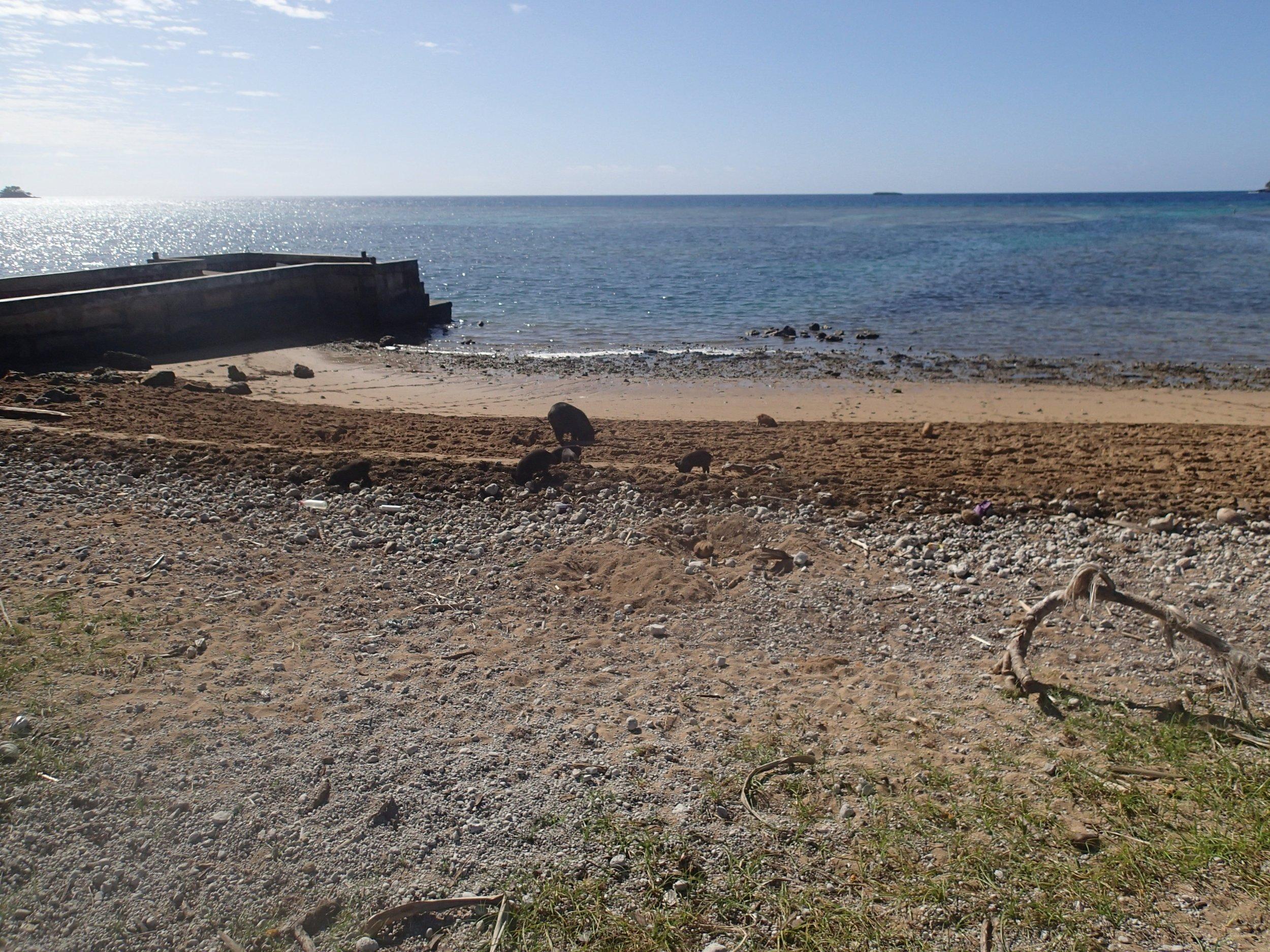beach pigs at Ha'afeva.JPG