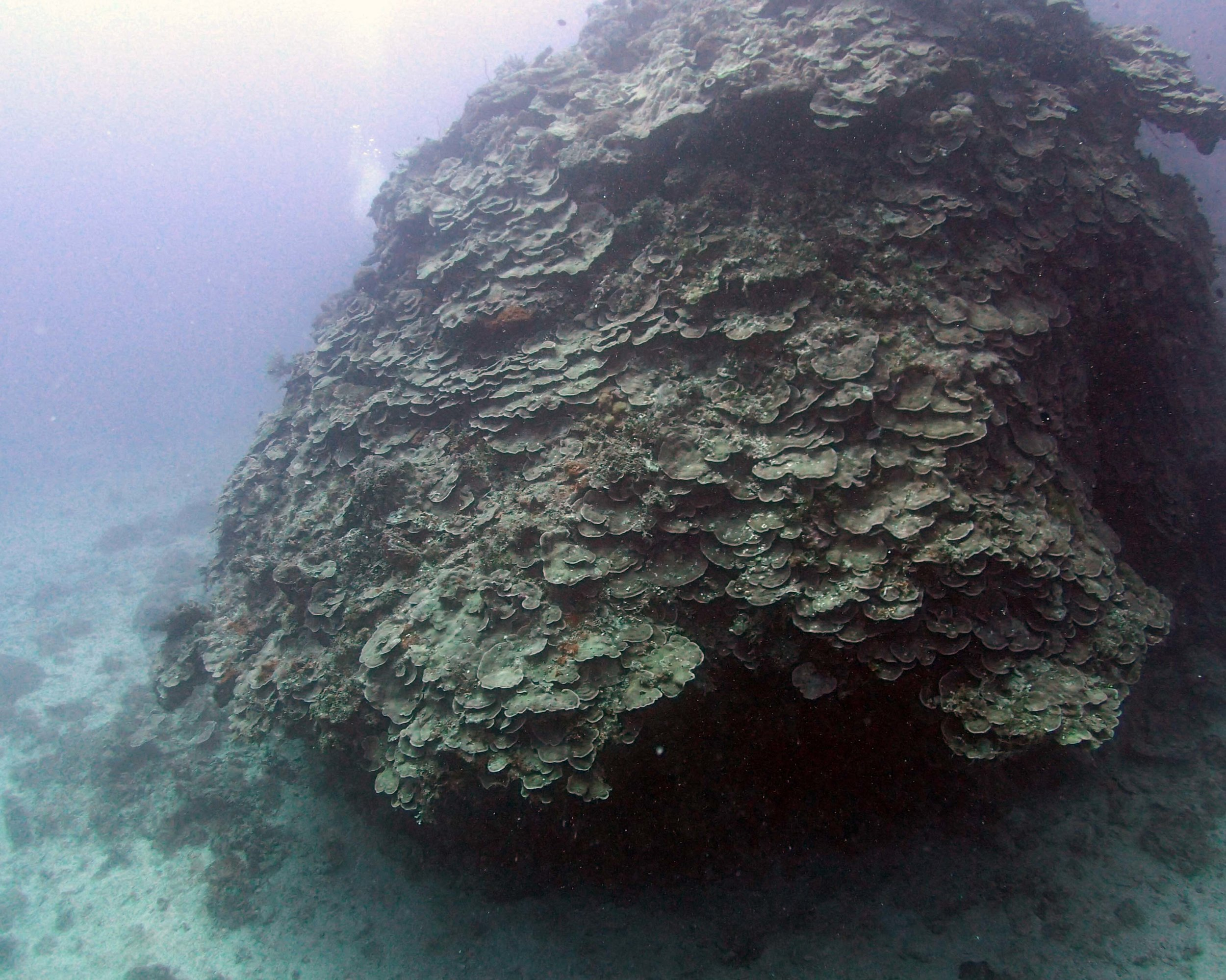 impressive Merulina colony.JPG