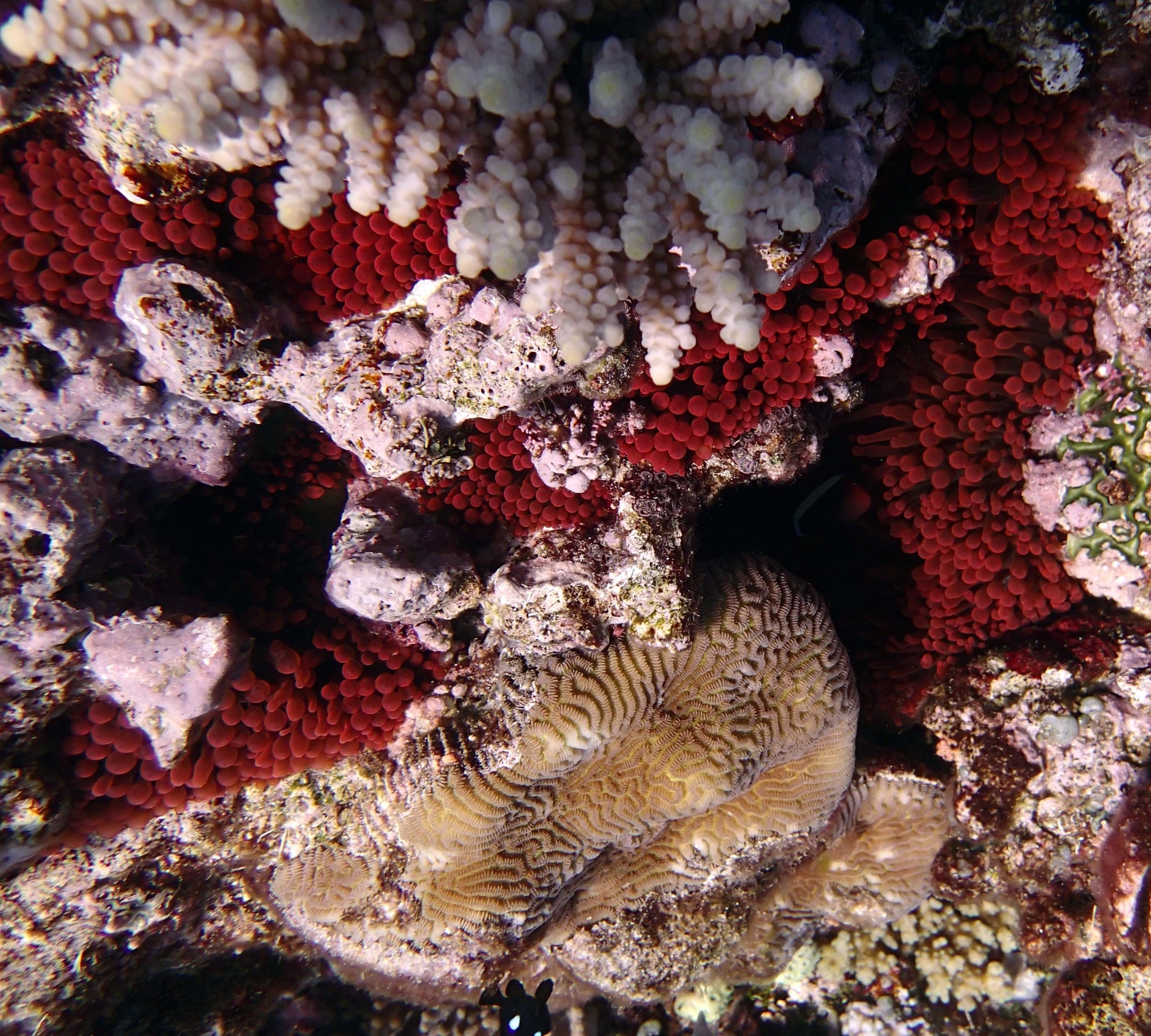 brick red anemone.JPG