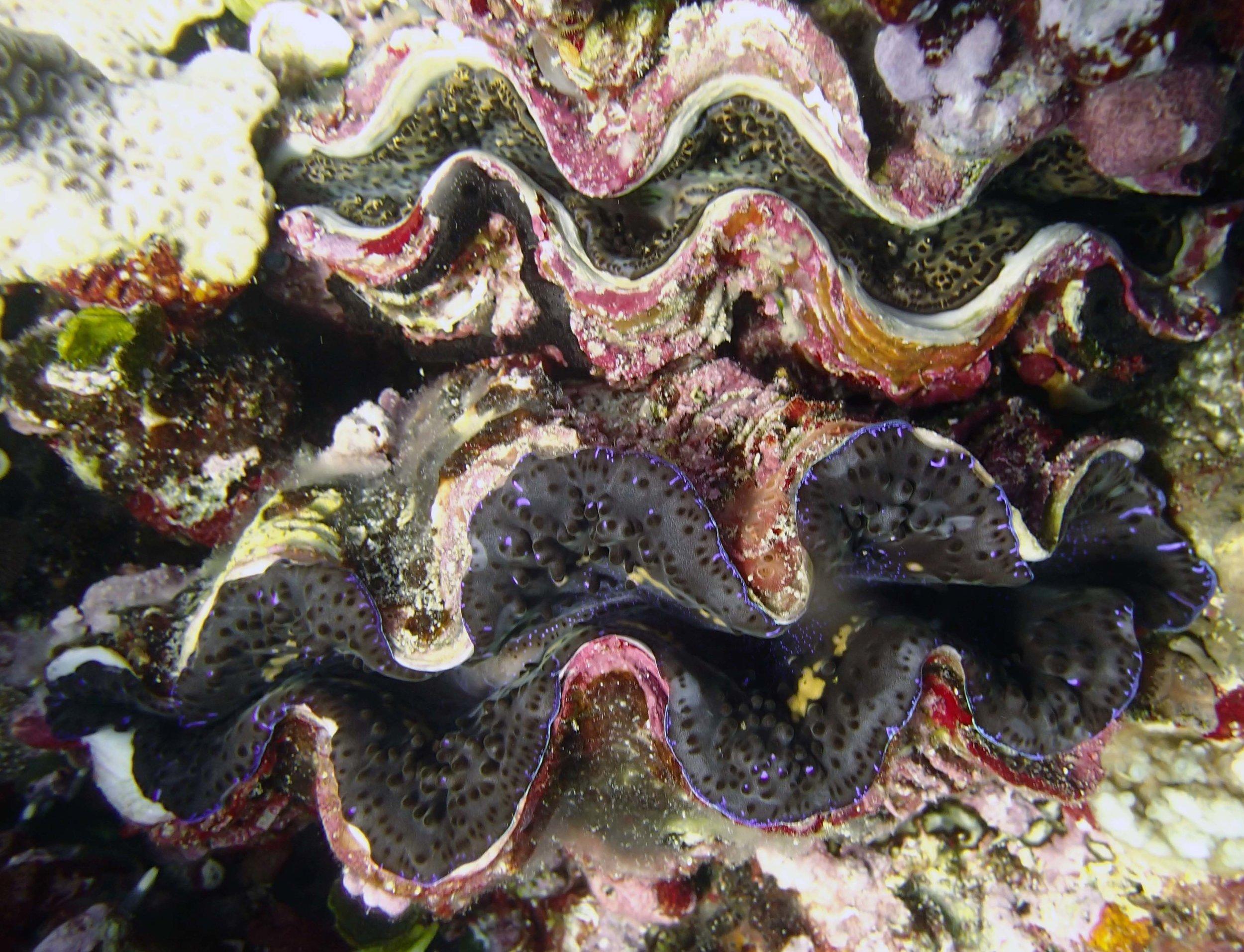 giant clams.jpg