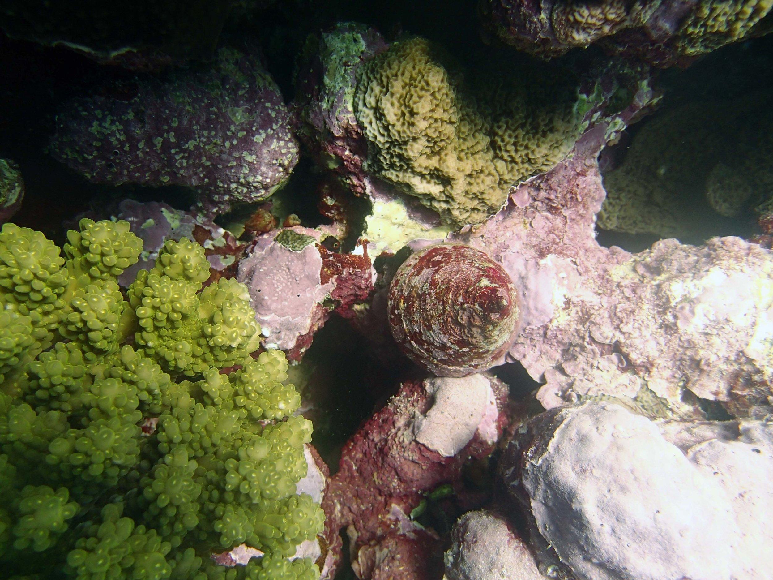 Trochus snail.jpg