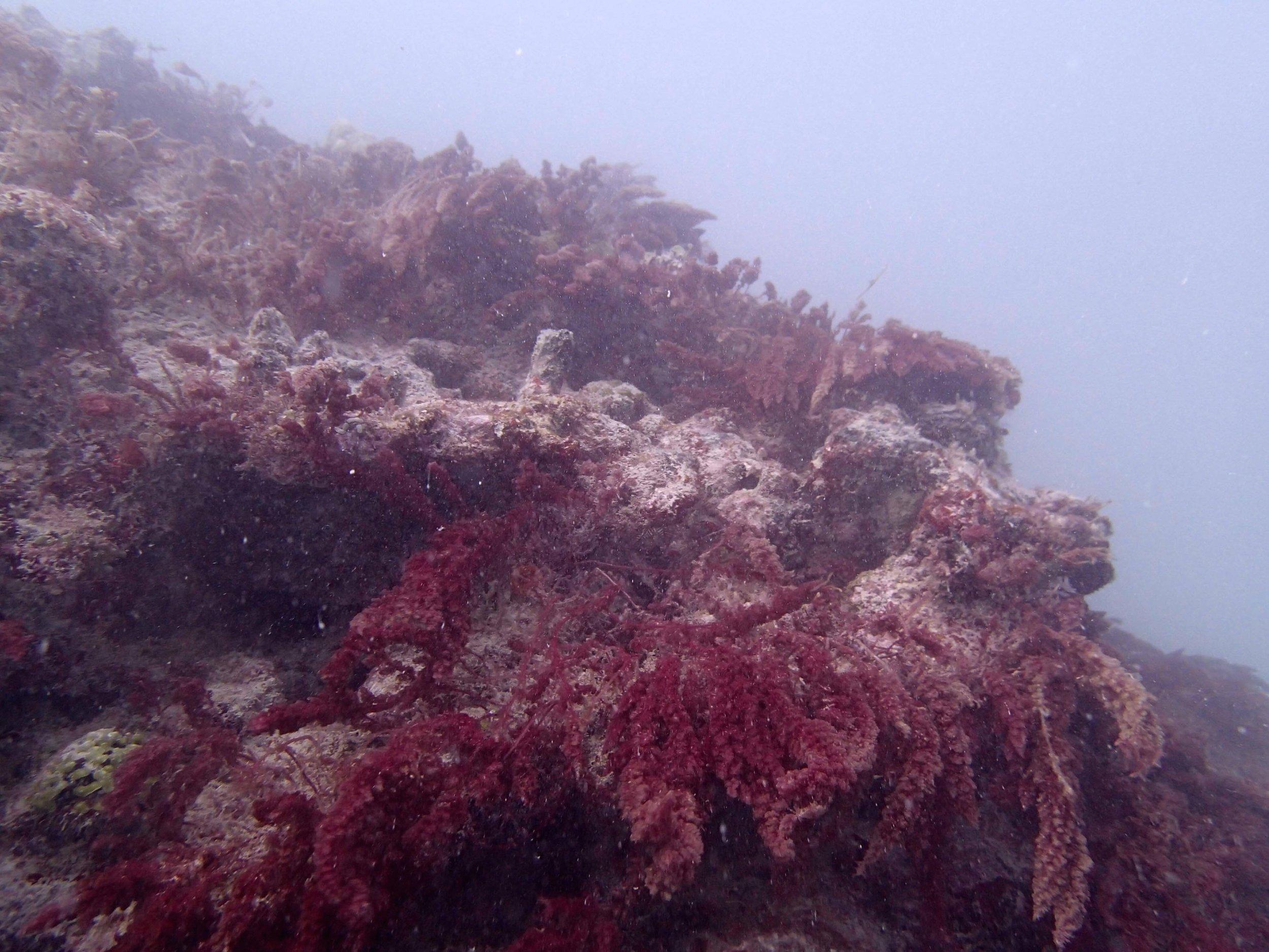 red macroalgae.jpg