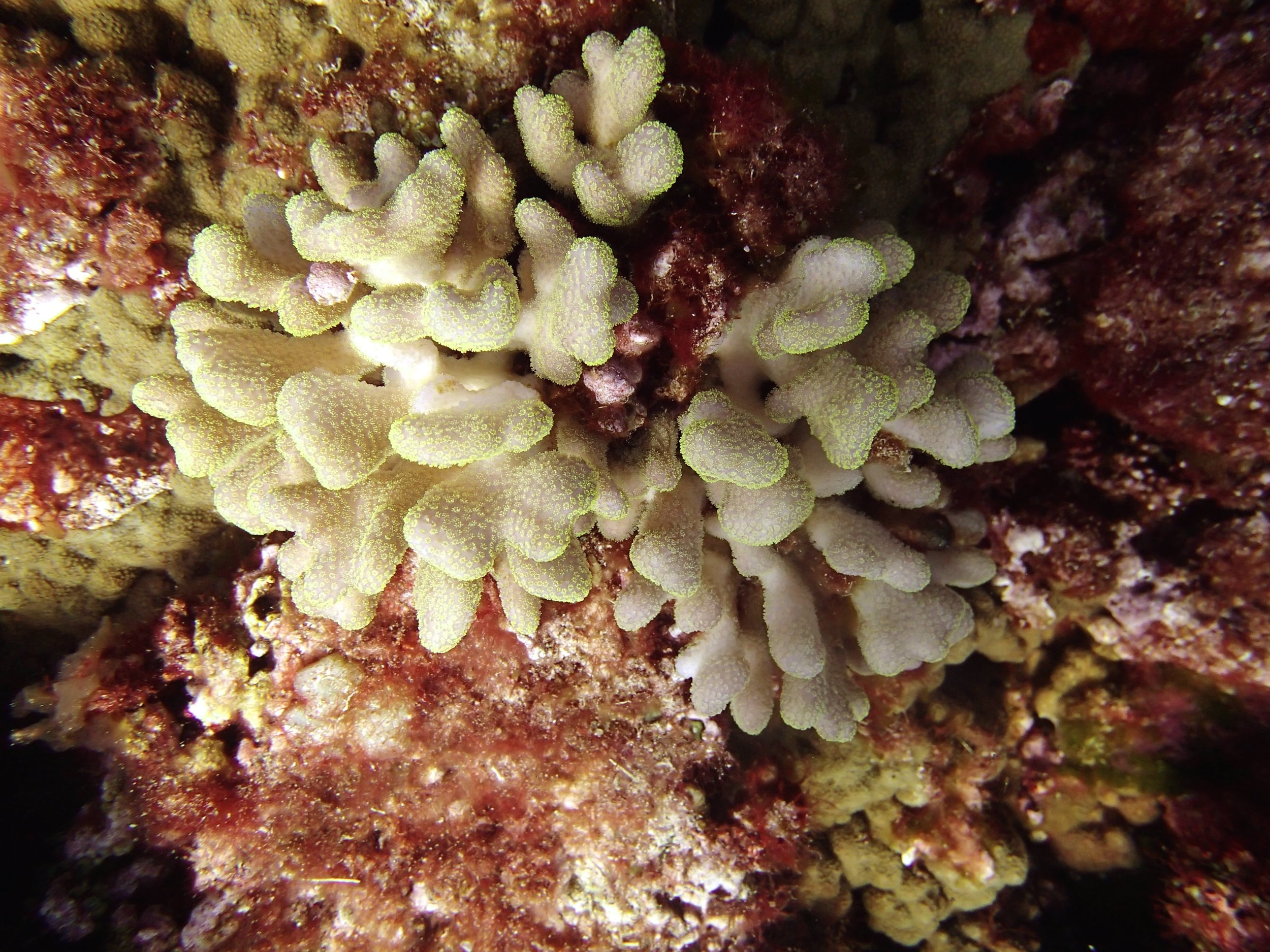 Stylophora pistillata.jpg