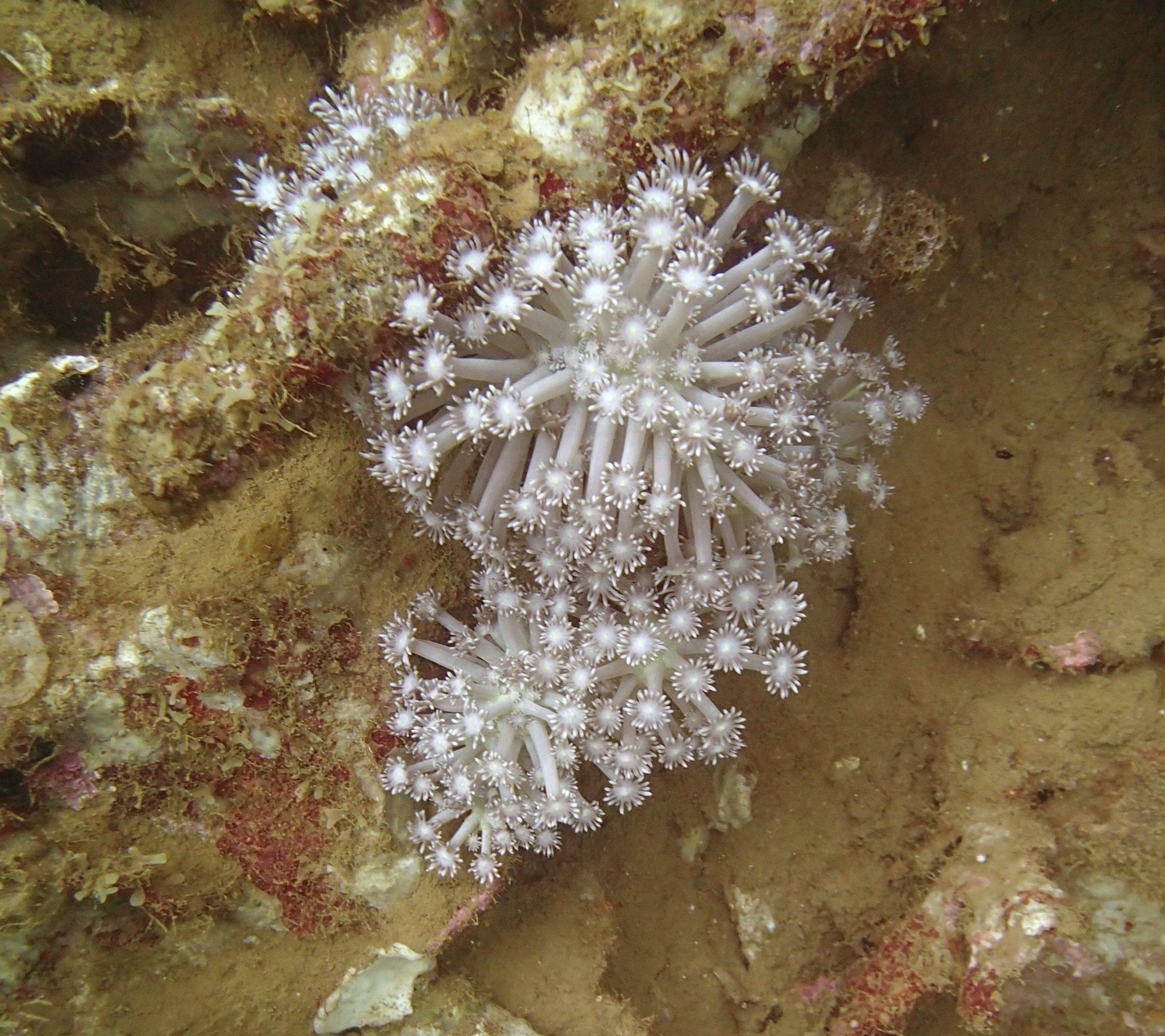 soft coral NCPB22.jpg