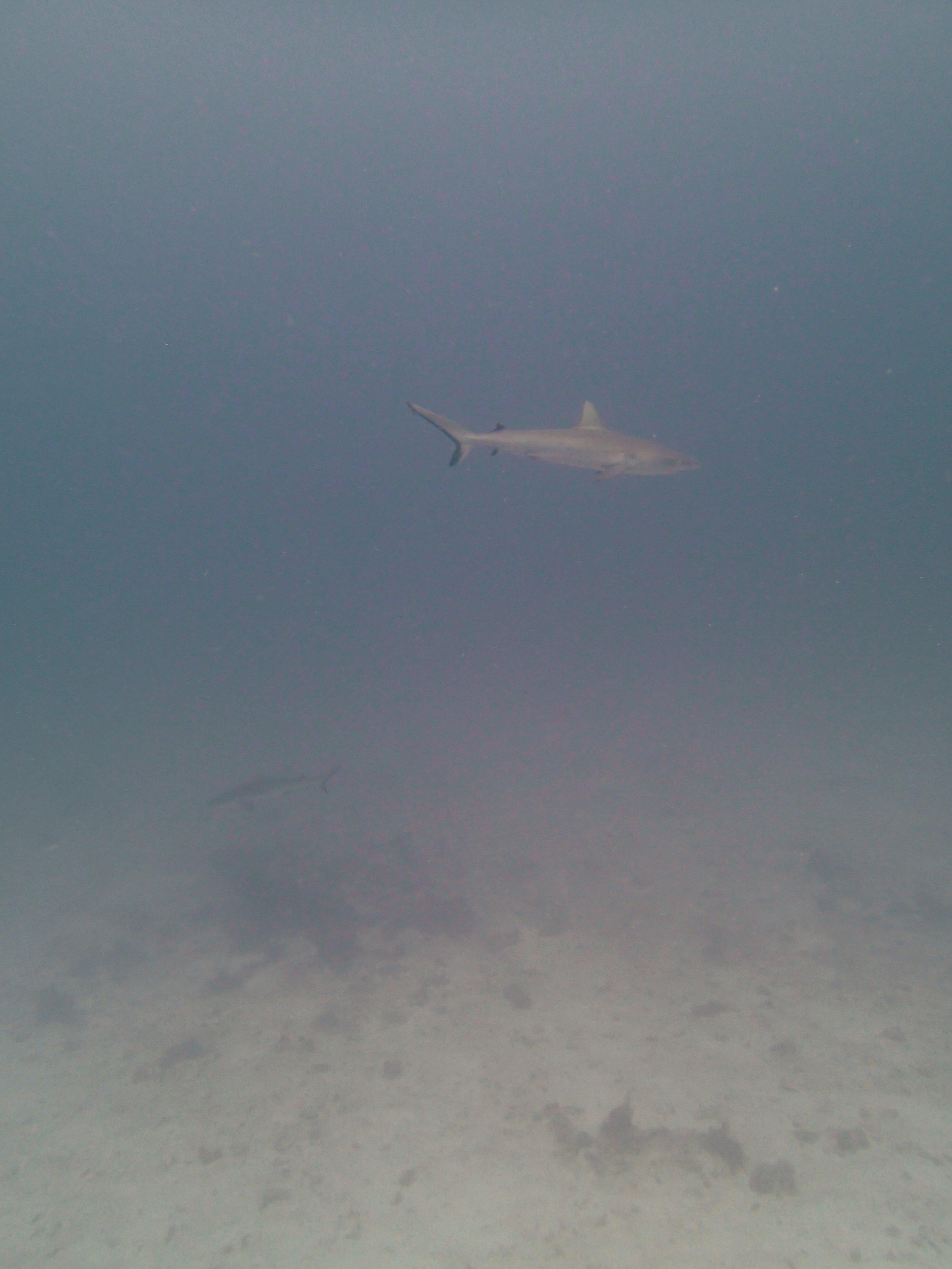 shark at NCCR31.jpg