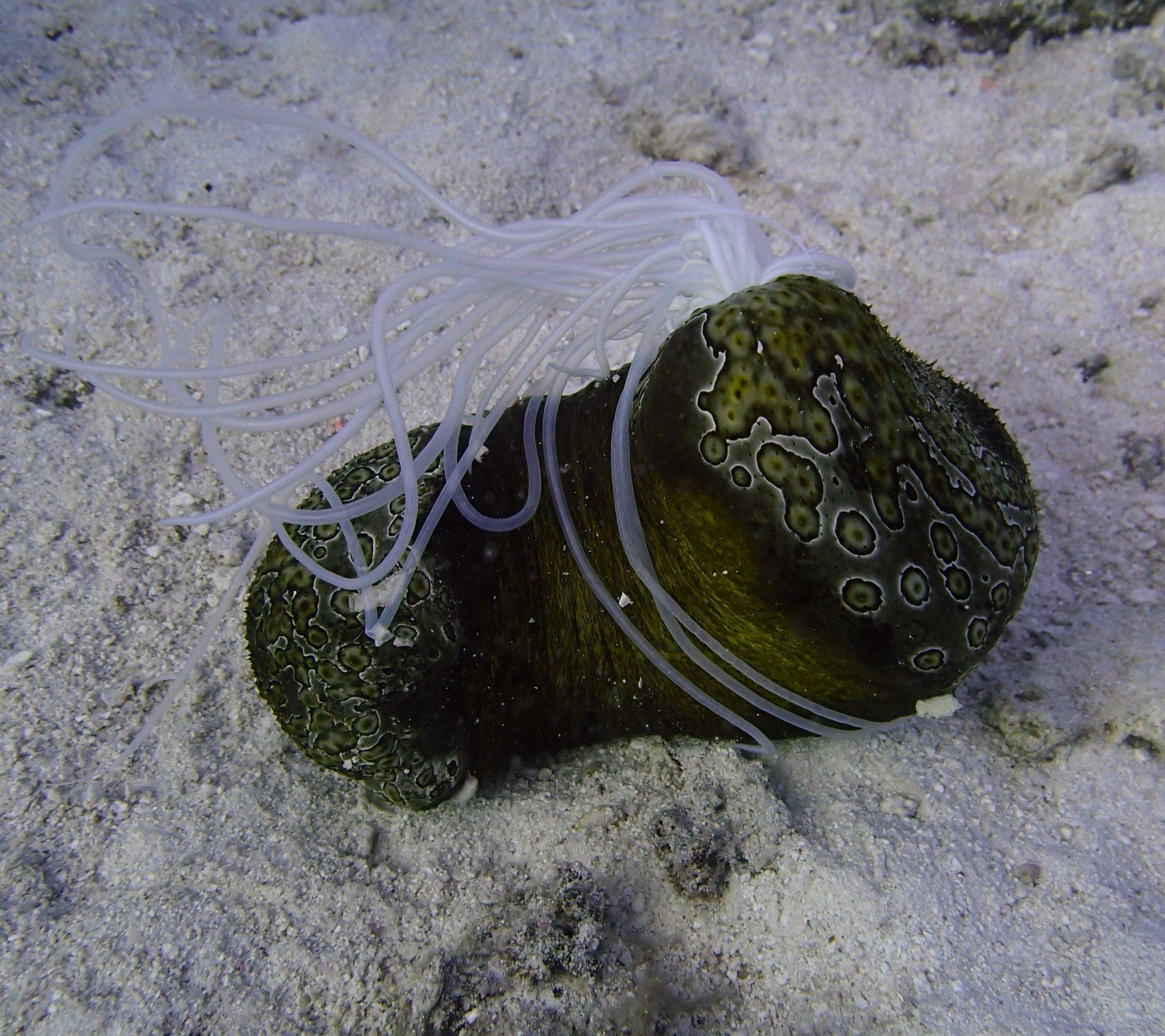 eviscerating sea cucumber.jpg