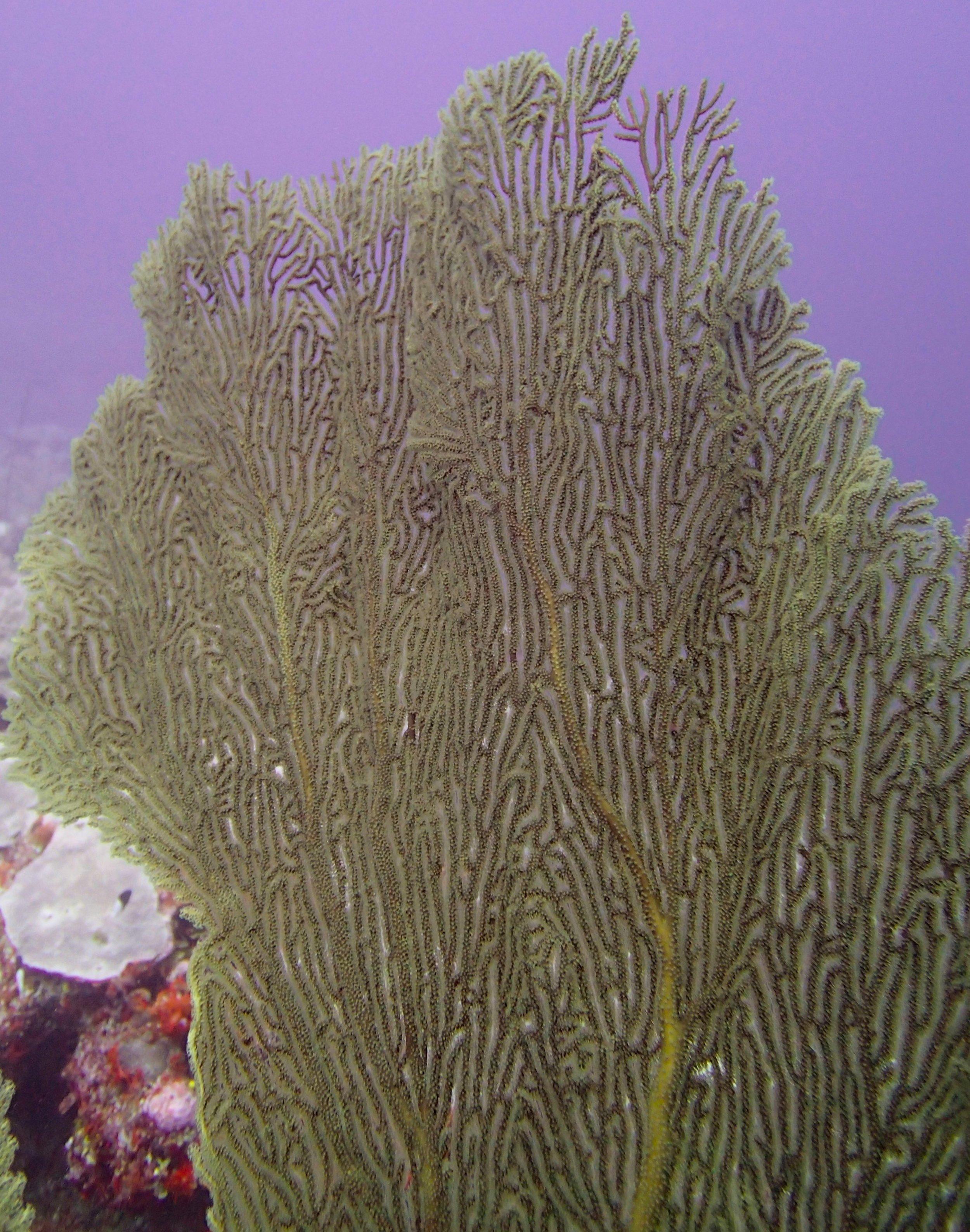 deep reef sea fan.jpg