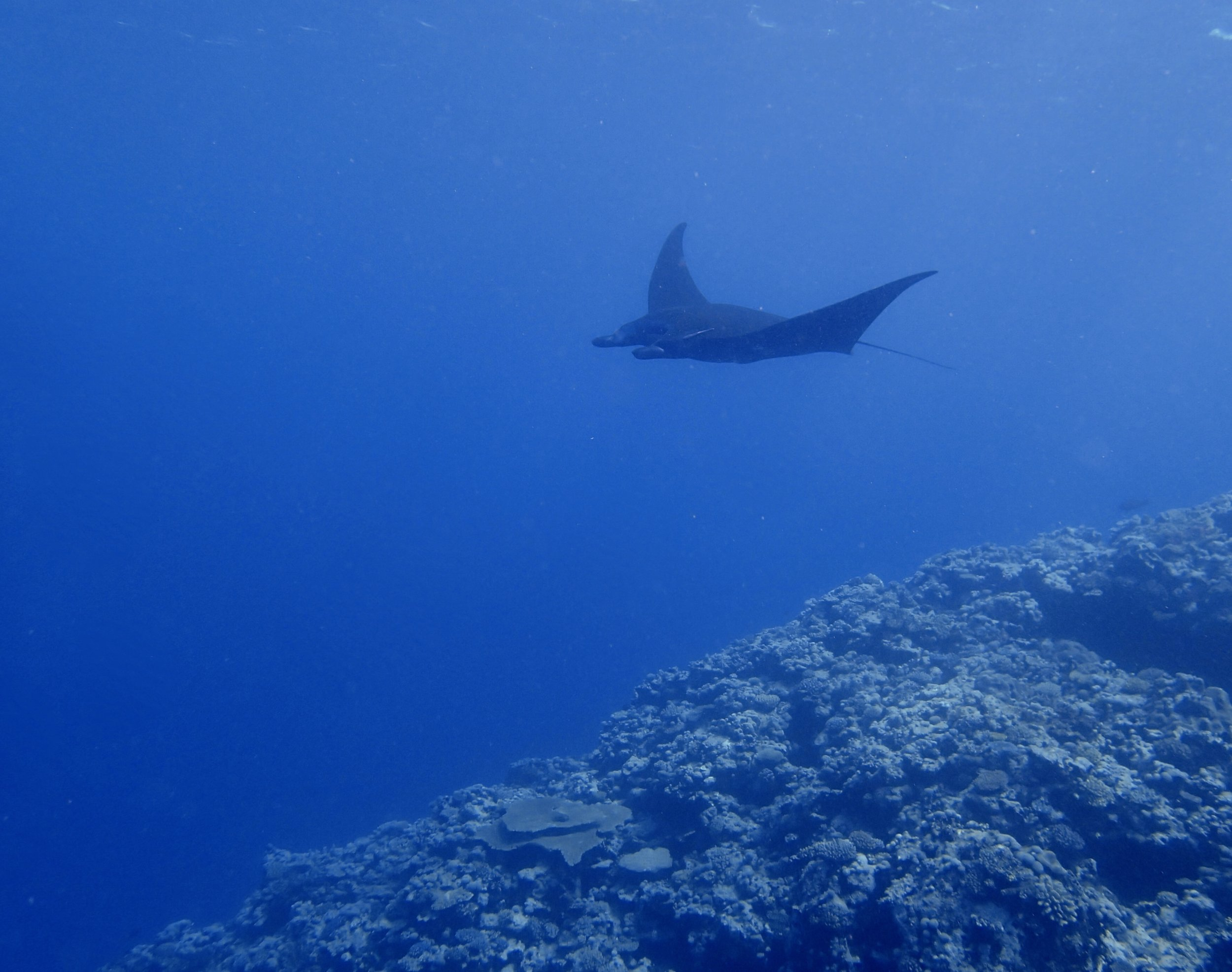 manta ray (1).jpg