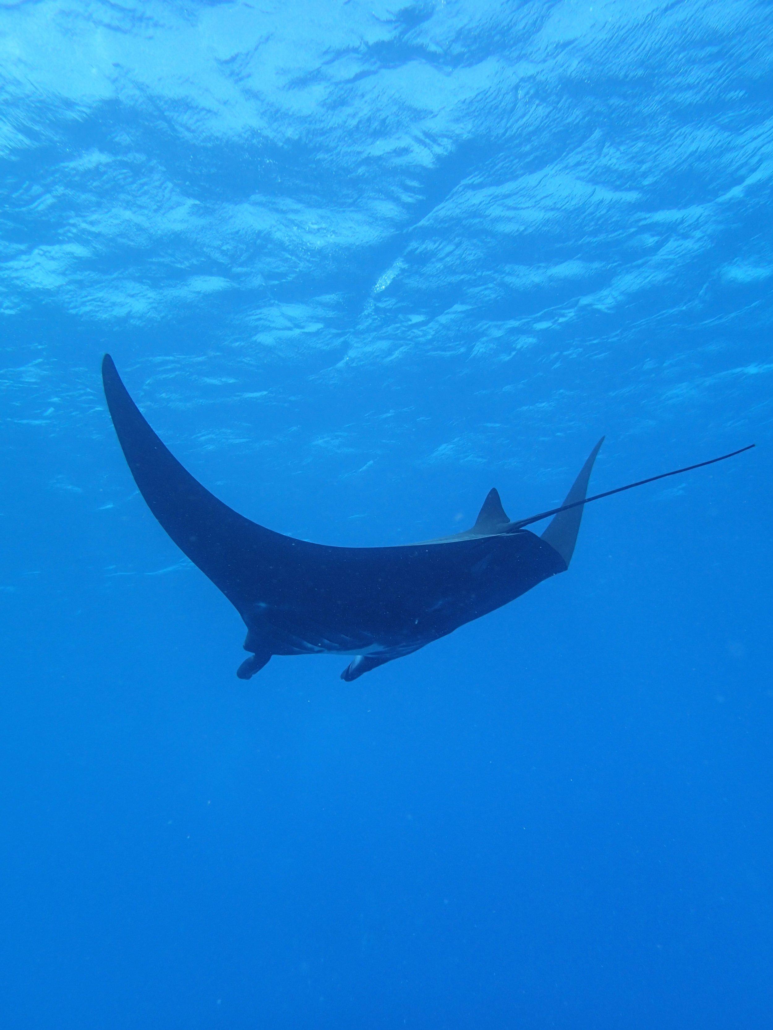 manta ray (4).jpg