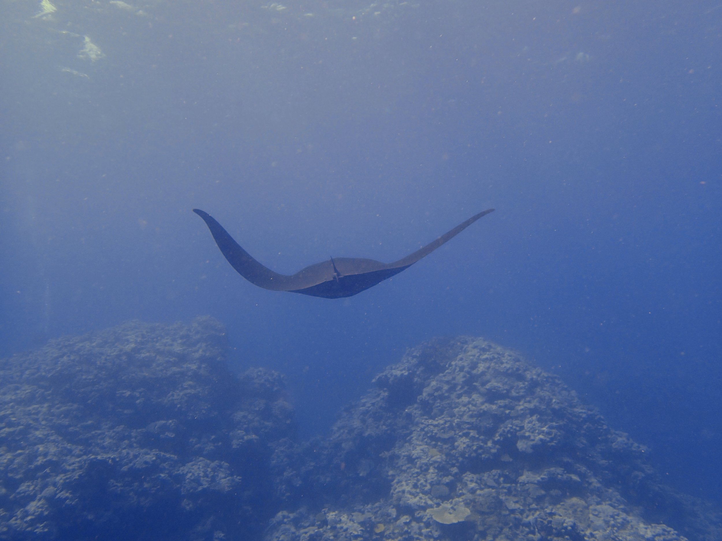 manta ray (5).jpg