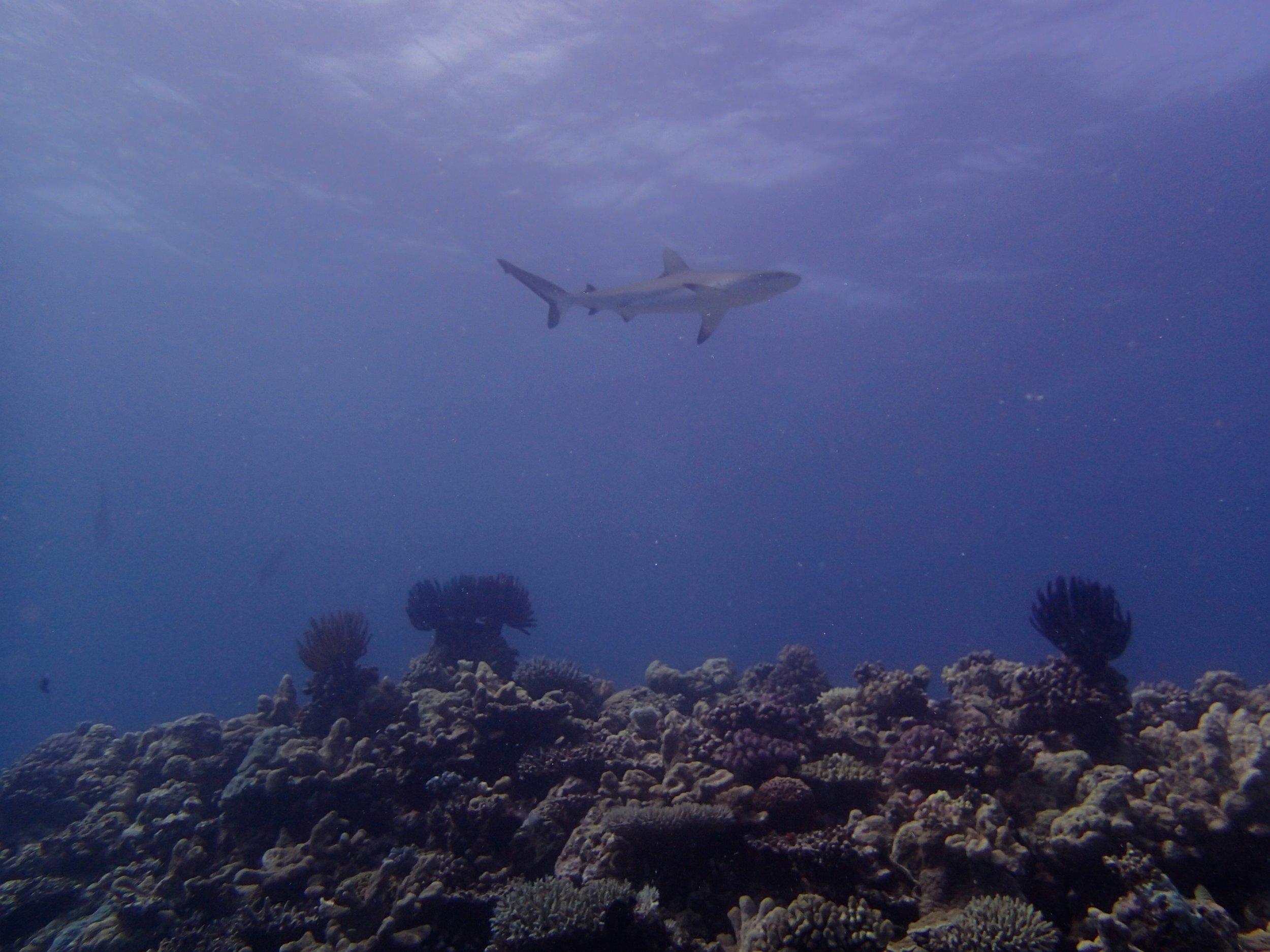 good grey reef shark shot.jpg