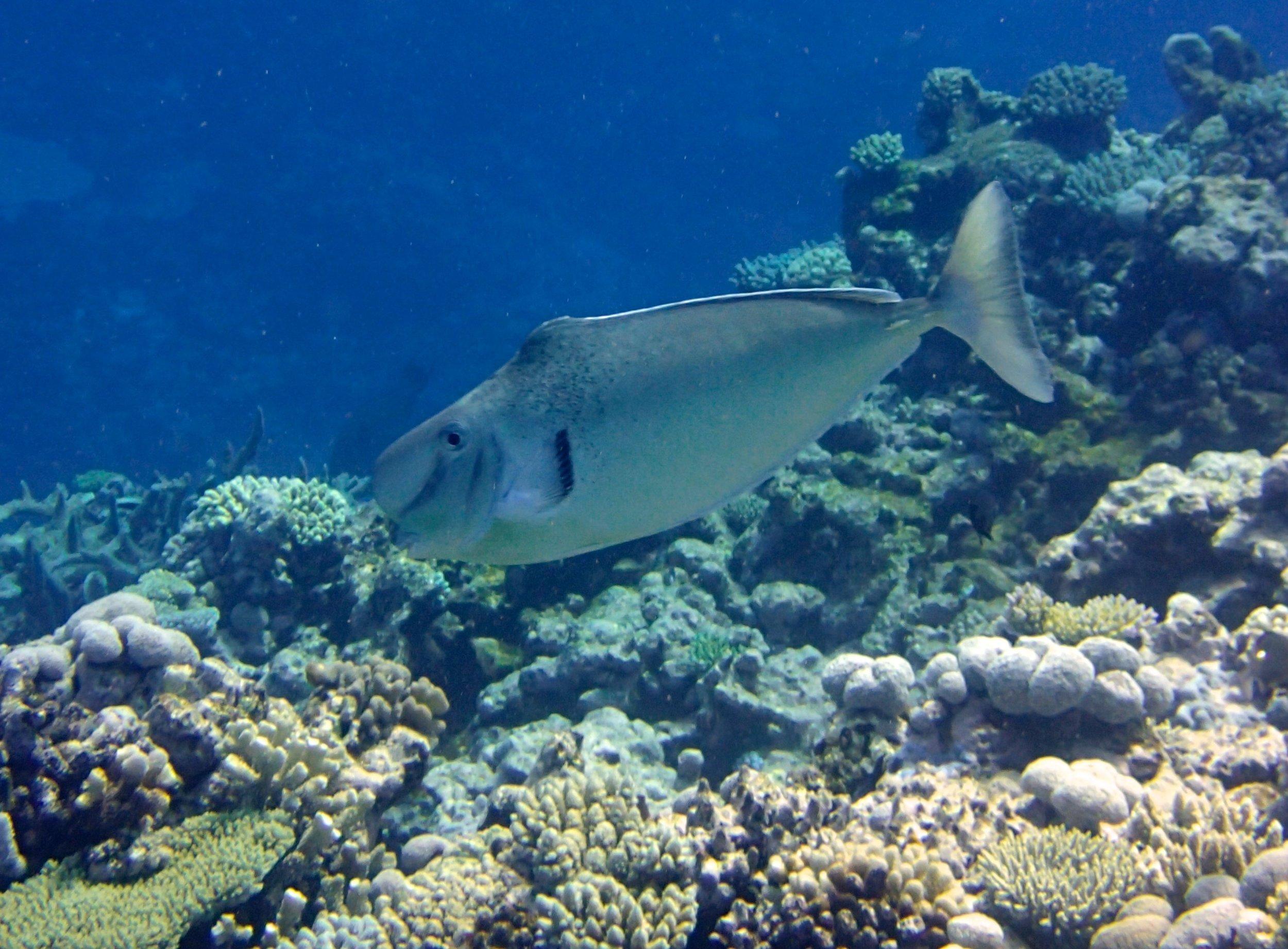 unicornfish (1).jpg