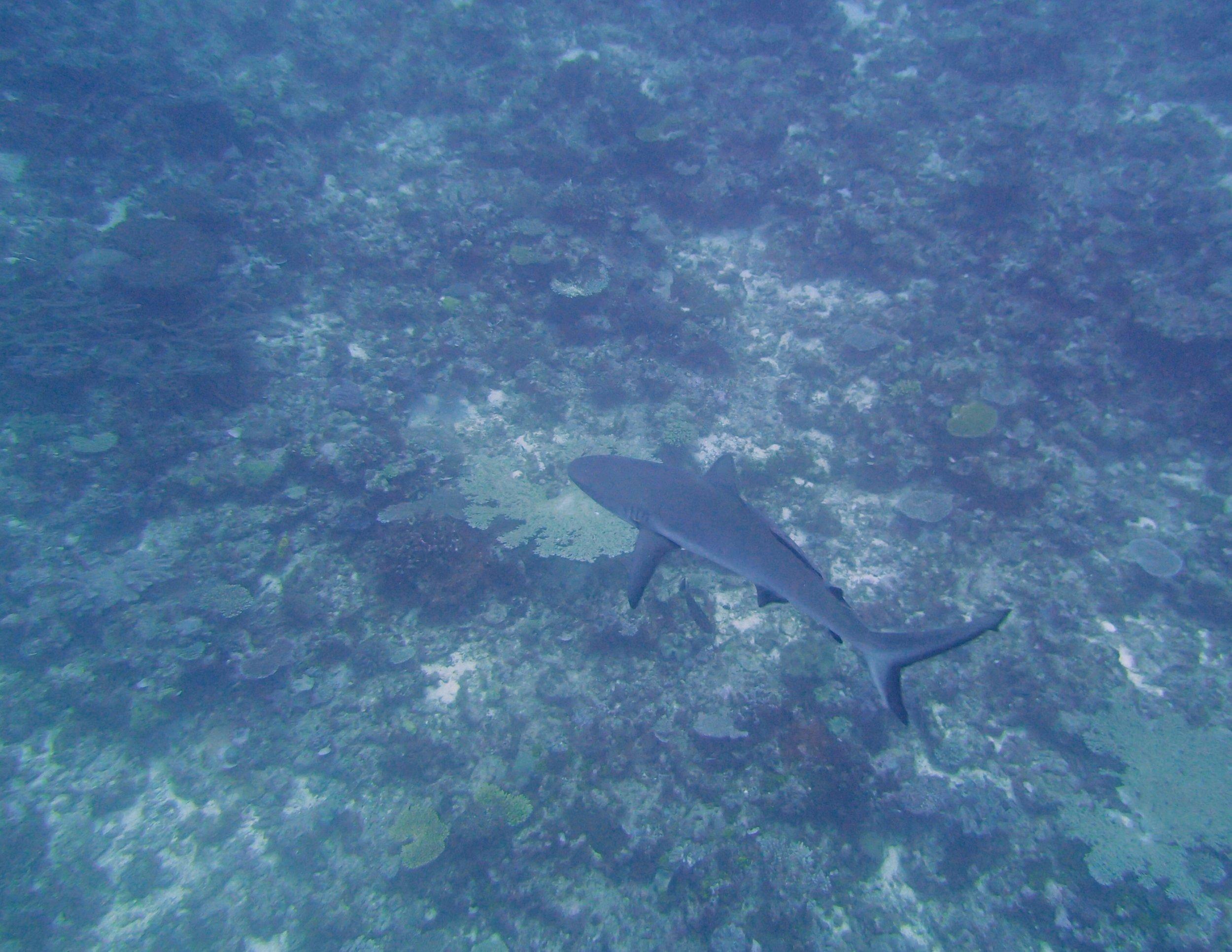 shark at Gilbert Atoll.jpg