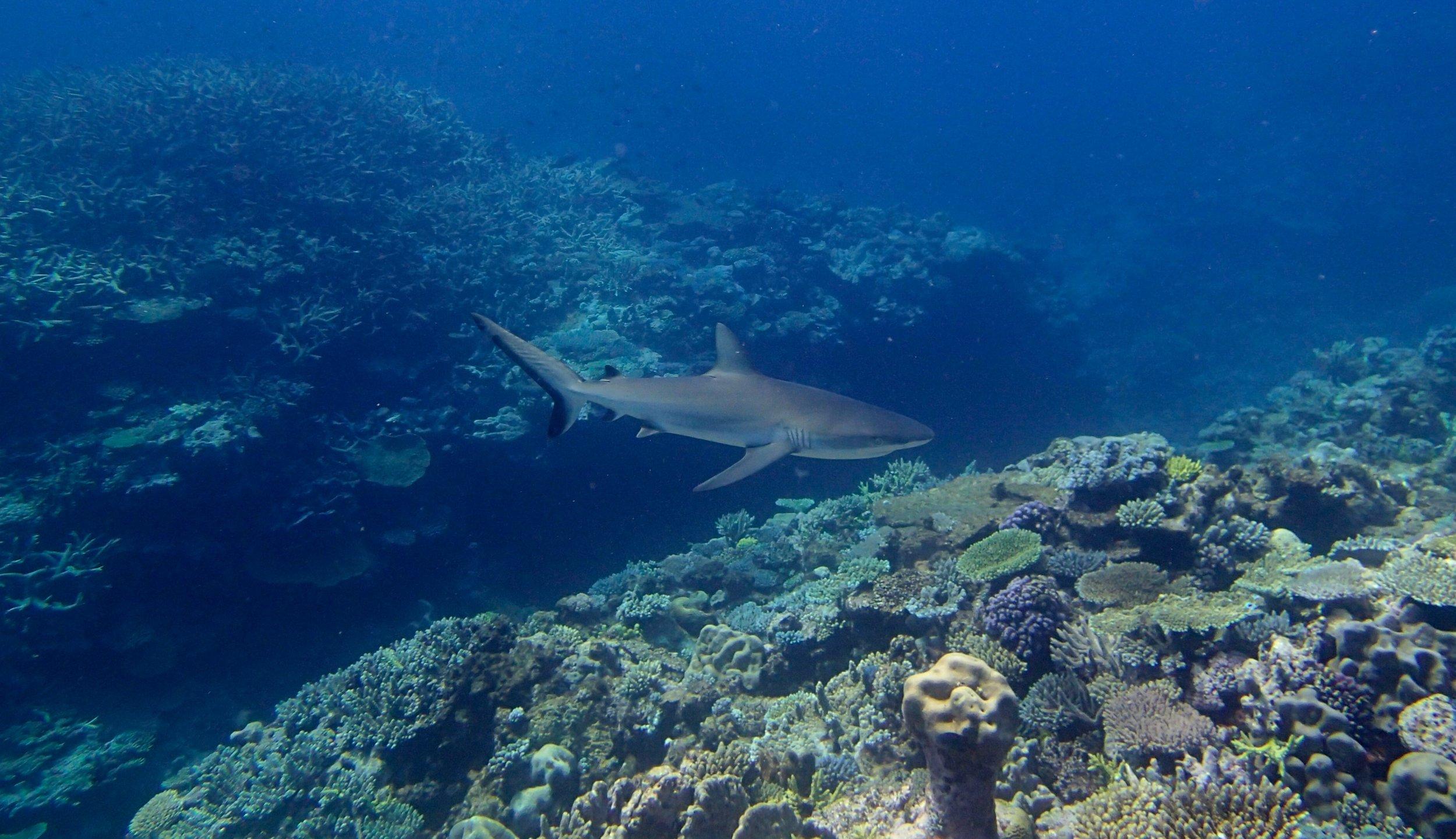 shark at NCSU61.jpg