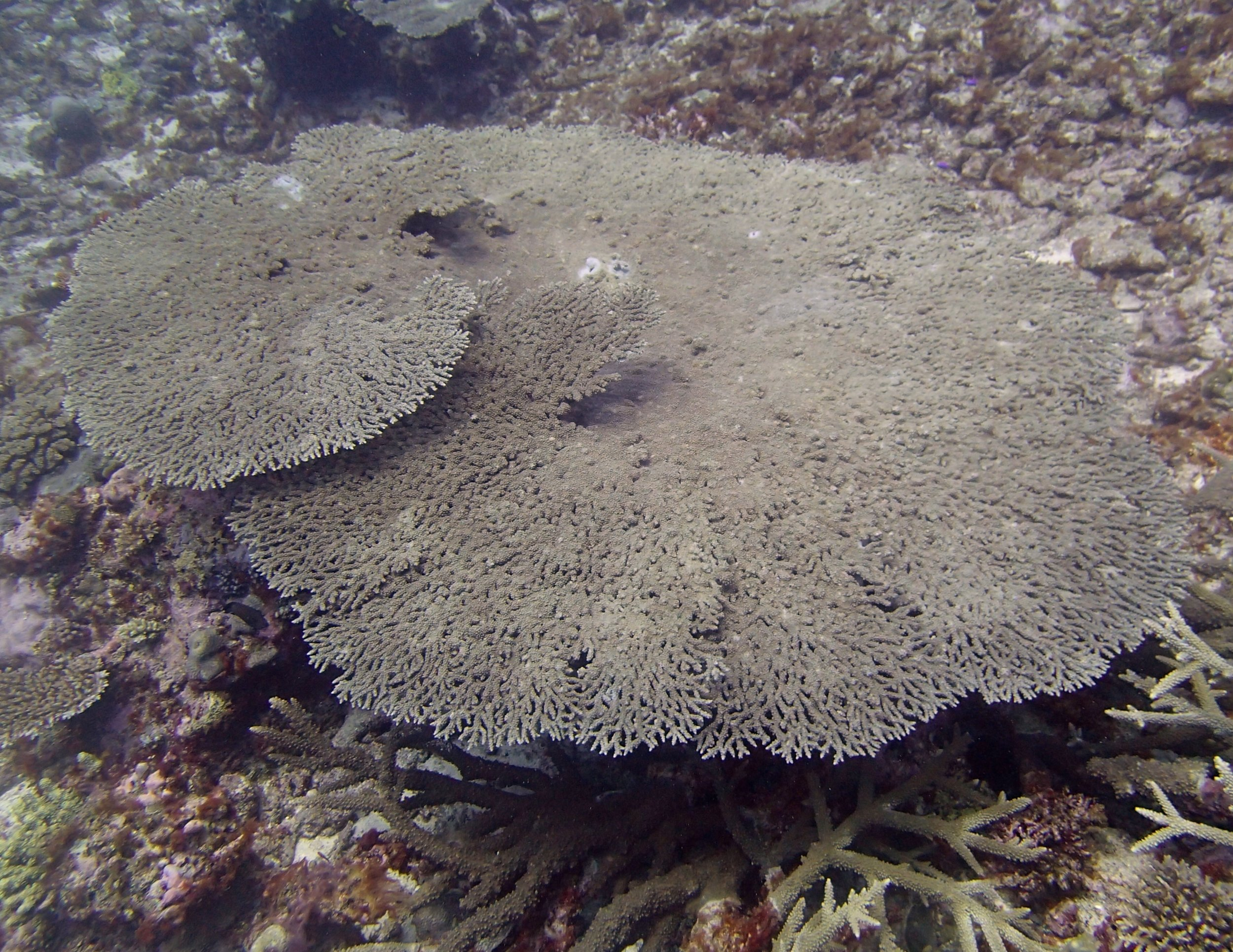 acropora table (1).jpg