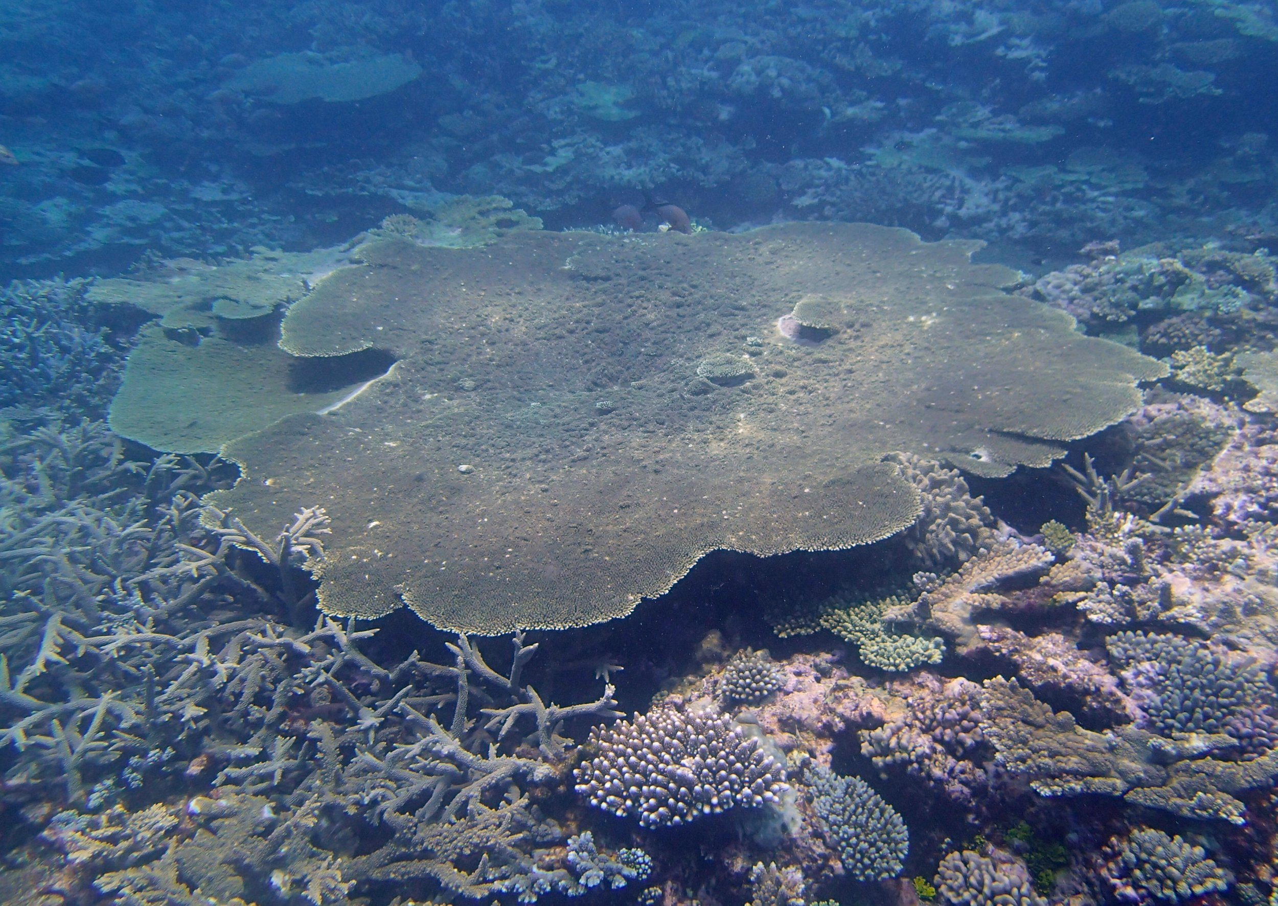 massive acropora table.jpg