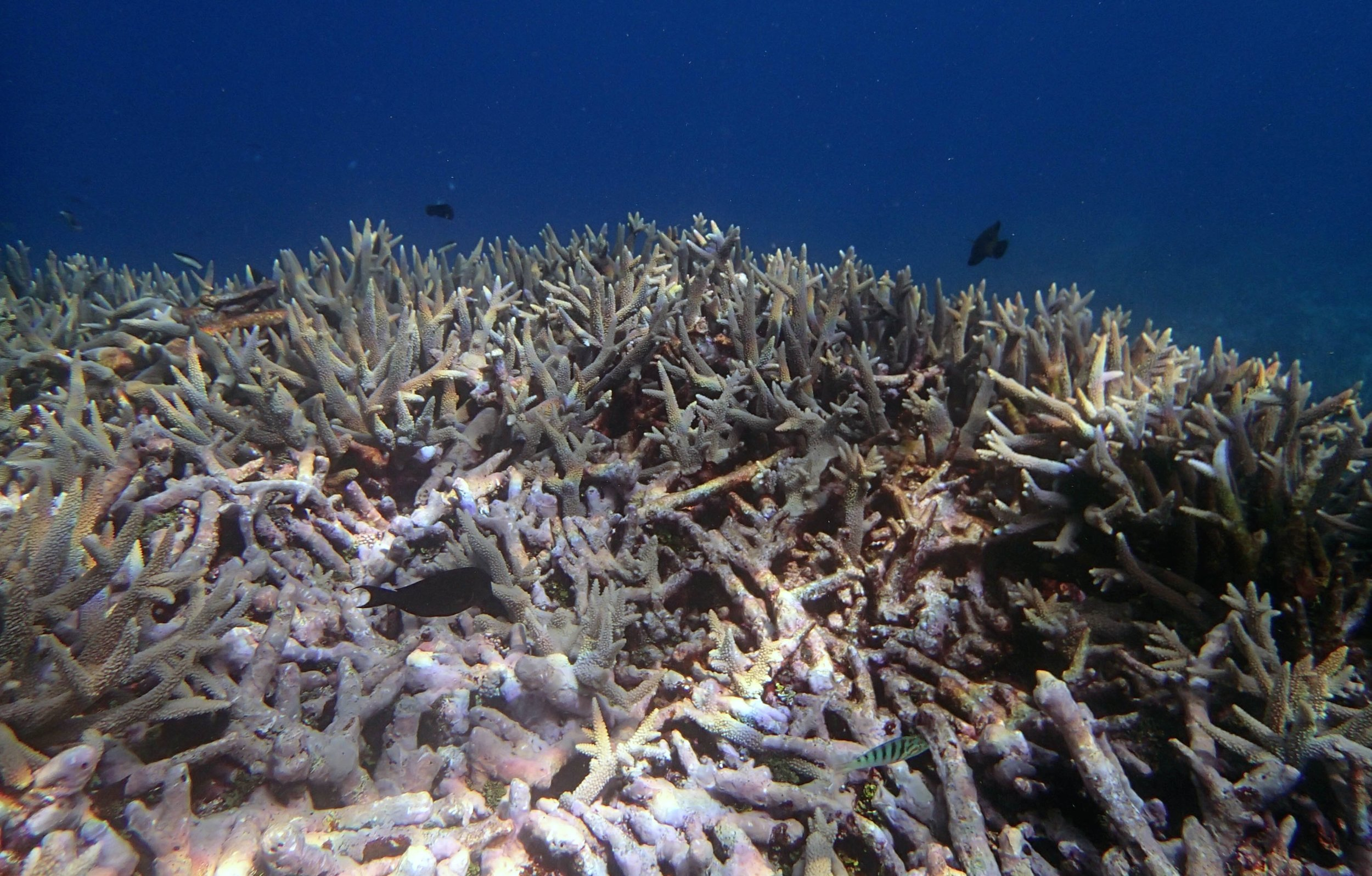 acropora thicket at NCSU74.jpg