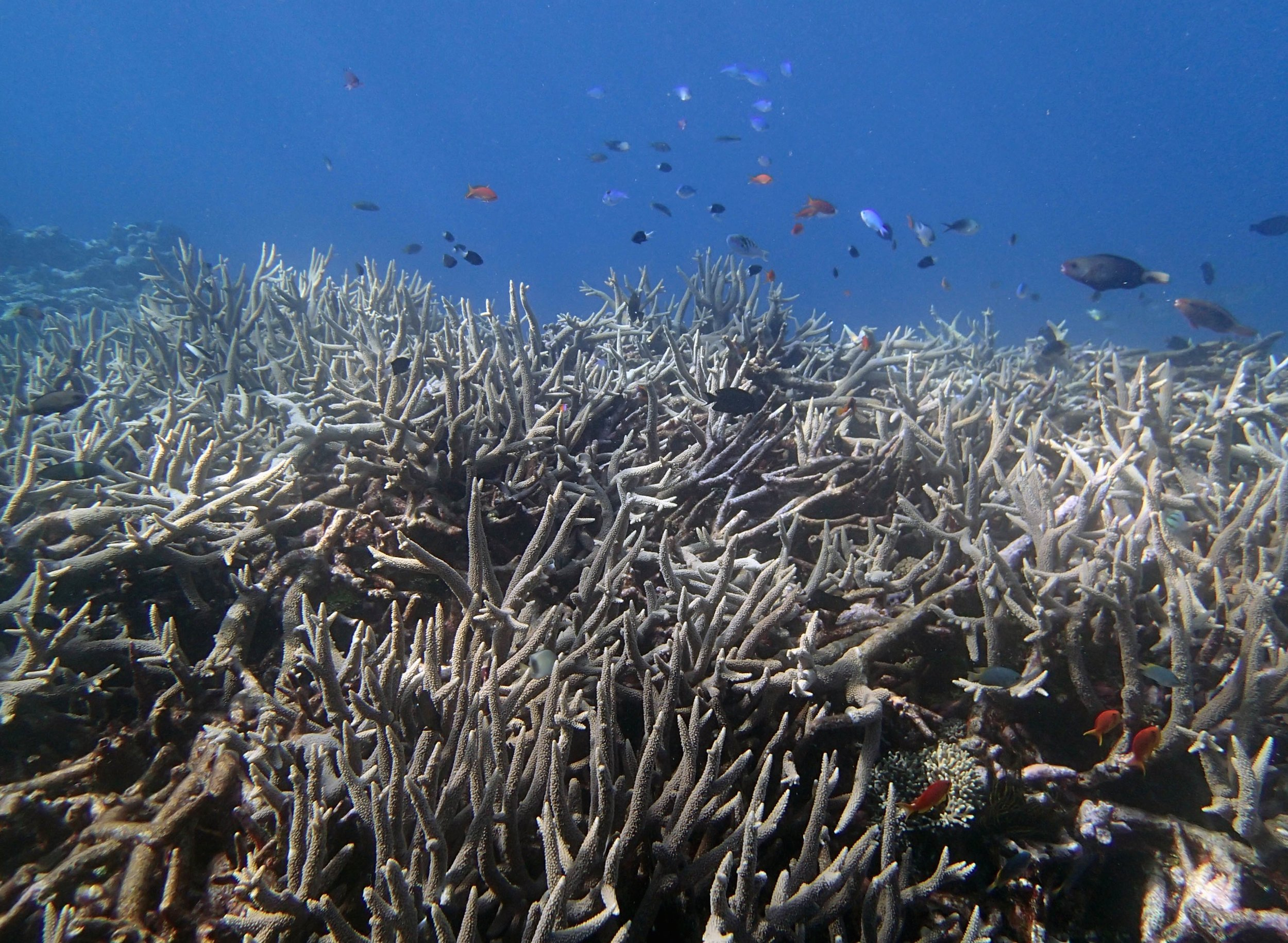 acropora thicket.jpg