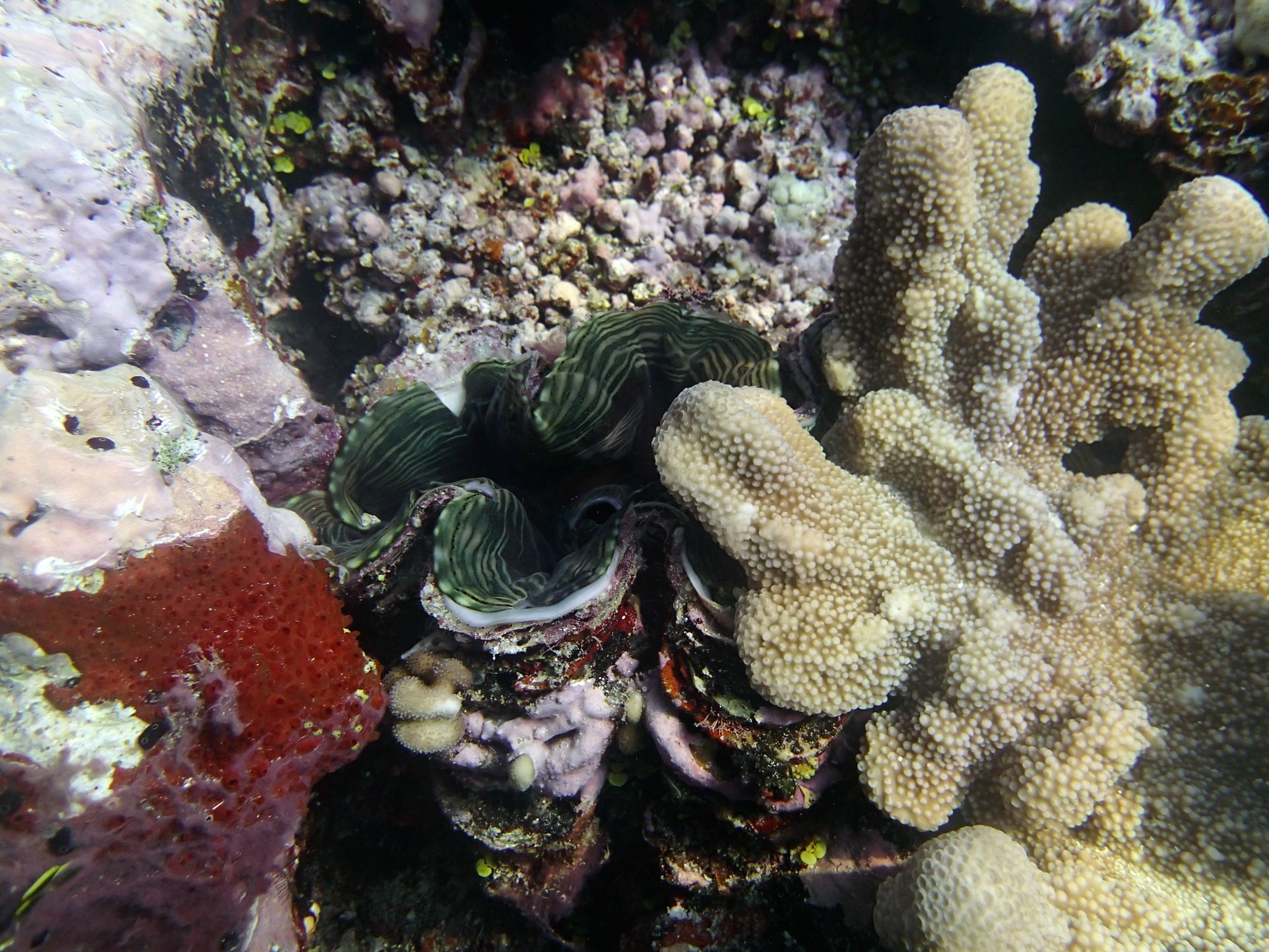 shy giant clam.jpg
