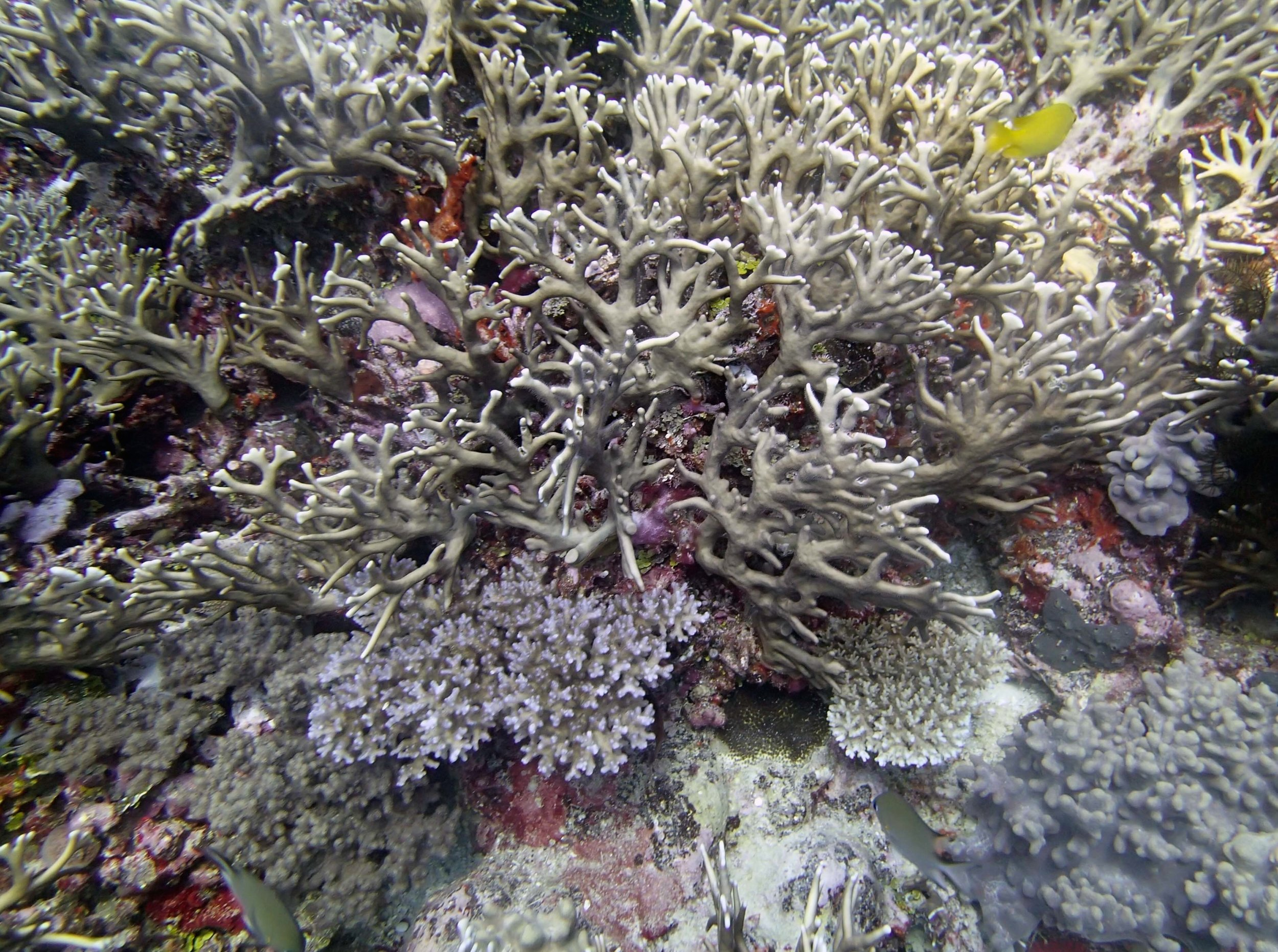 Pdam and Millepora.jpg