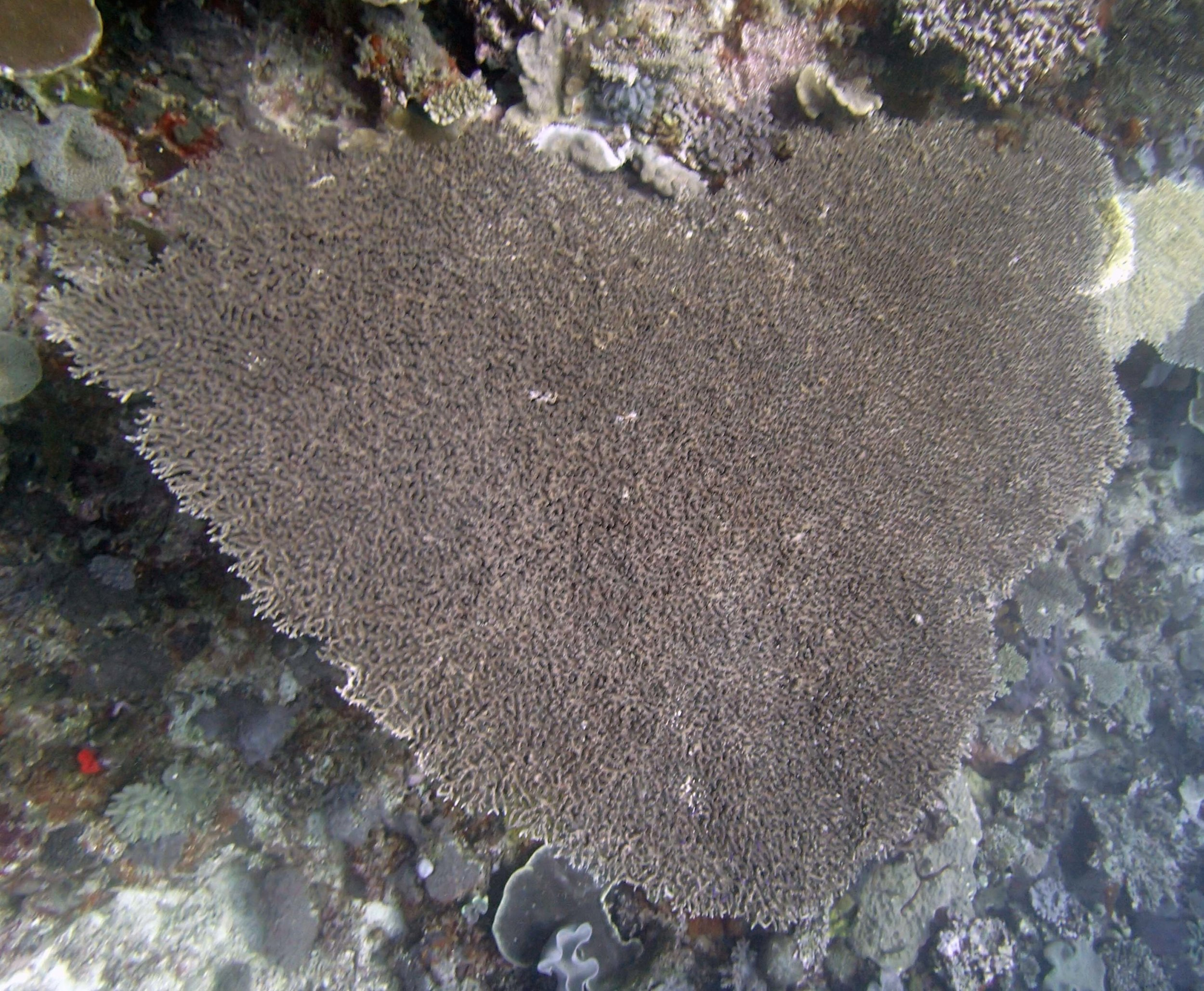 huge acropora table.jpg