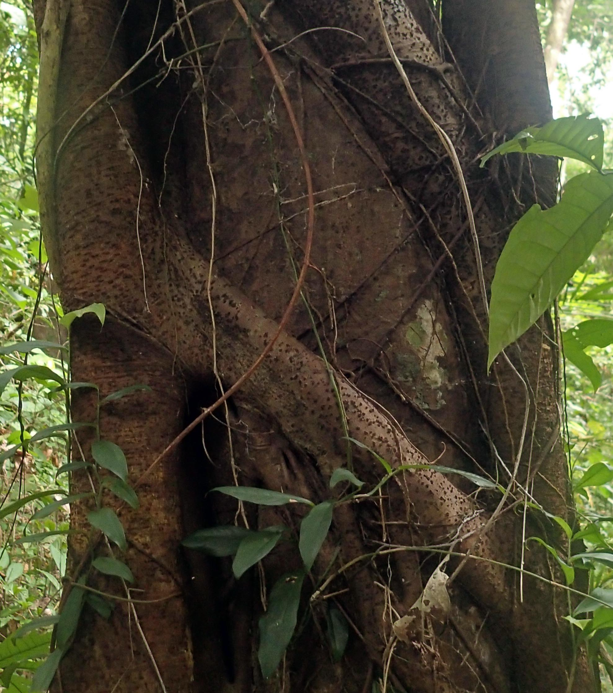 parasitic tree.jpg
