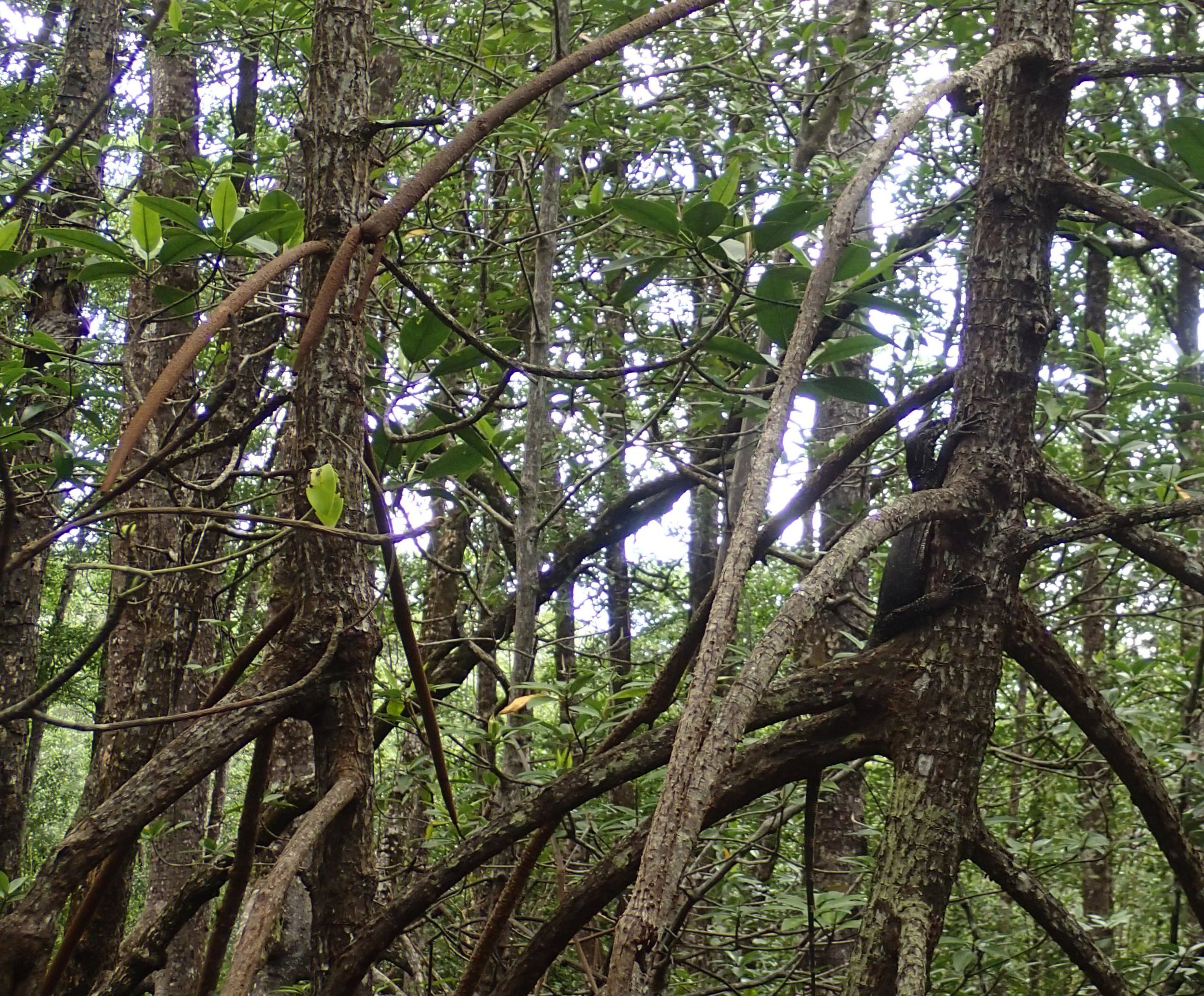 monitor lizard in tree.jpg