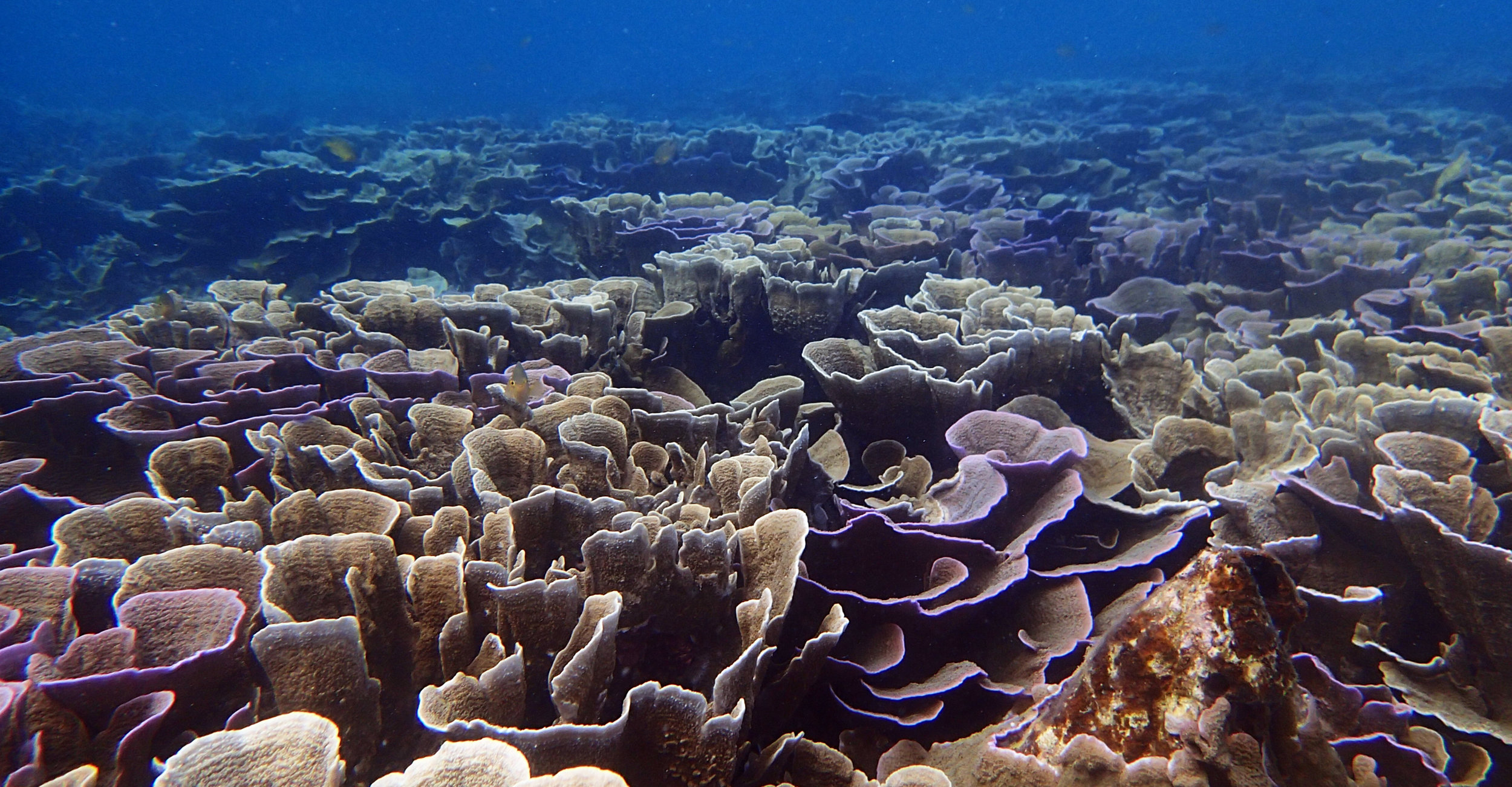 foliaceous coral madness.jpg