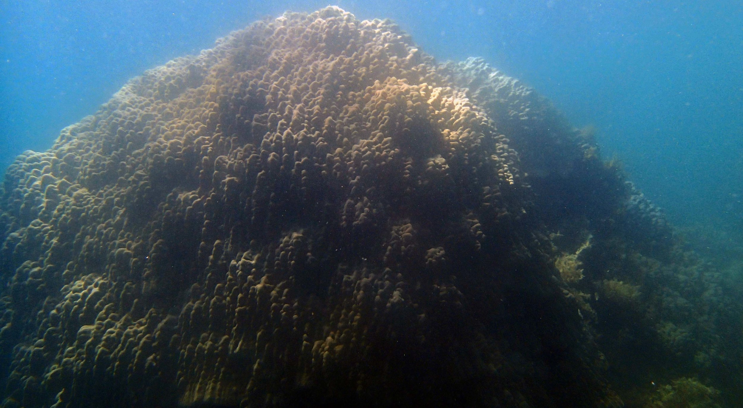monster Porites Palawan.jpg